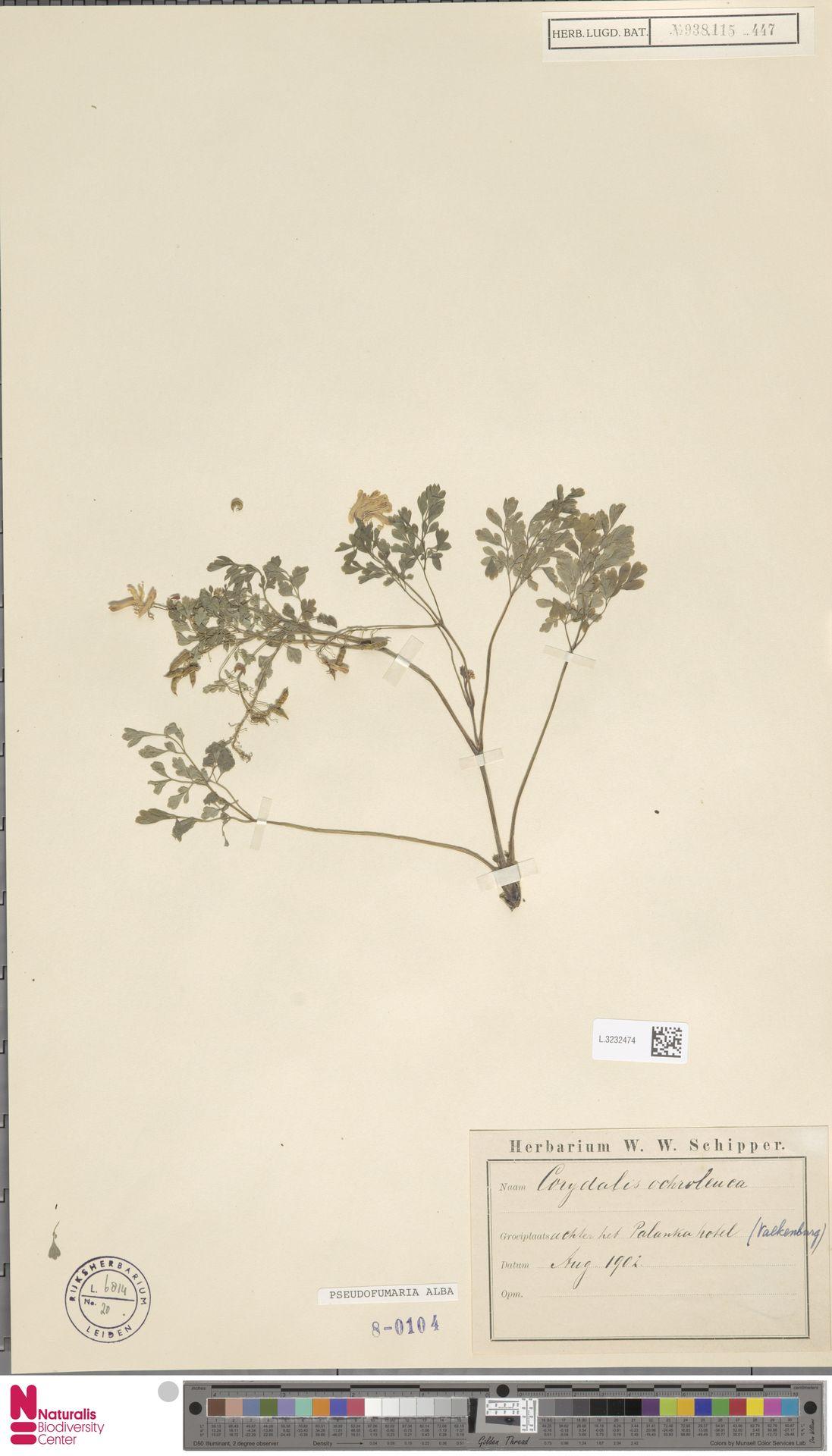 L.3232474 | Pseudofumaria alba (Mill.) Lidén