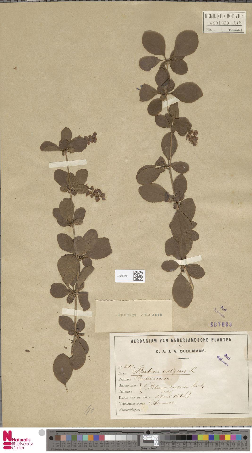 L.3236211 | Berberis vulgaris L.