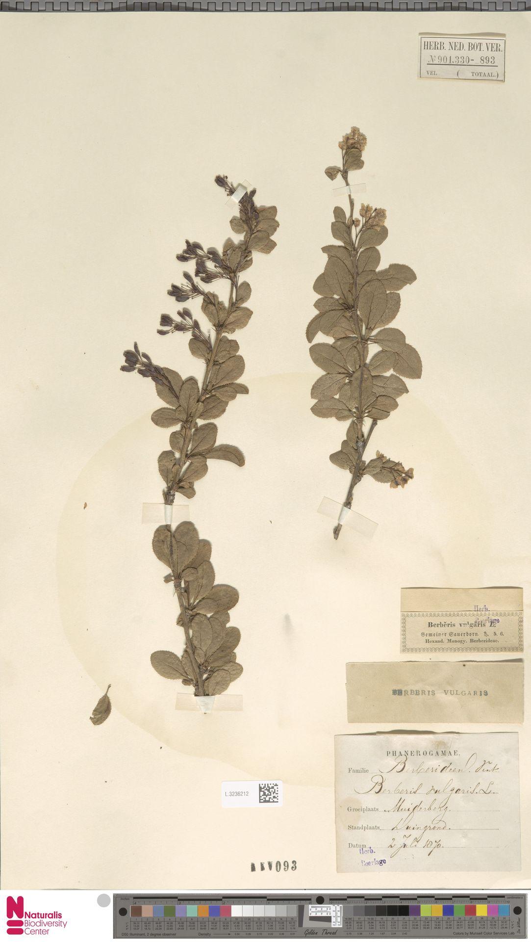 L.3236212 | Berberis vulgaris L.