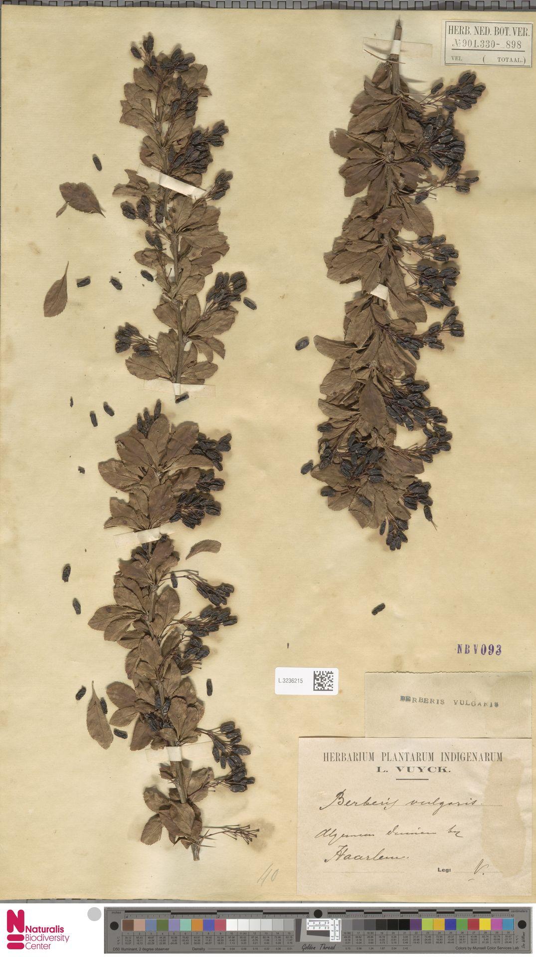 L.3236215   Berberis vulgaris L.