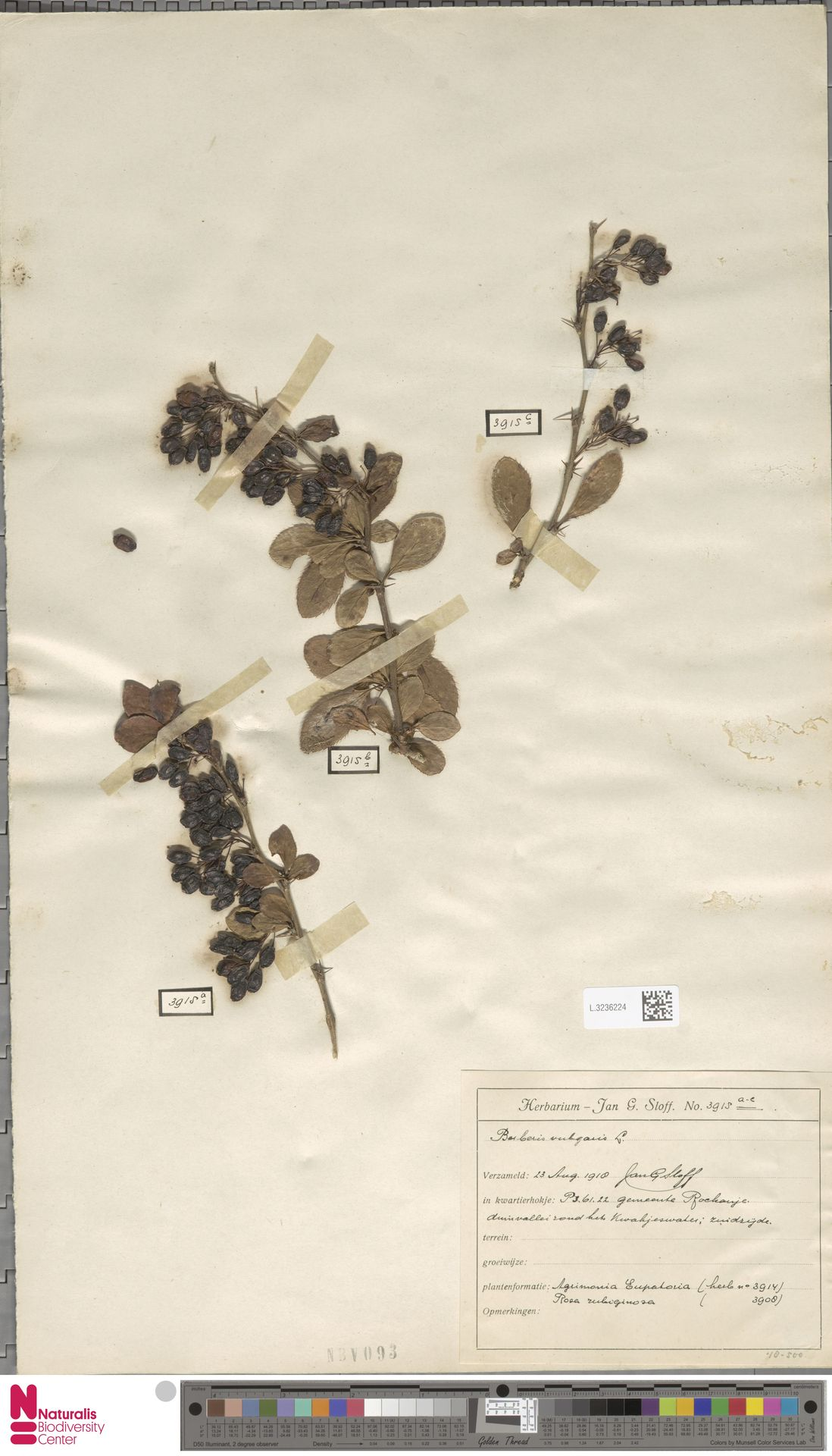 L.3236224   Berberis vulgaris L.