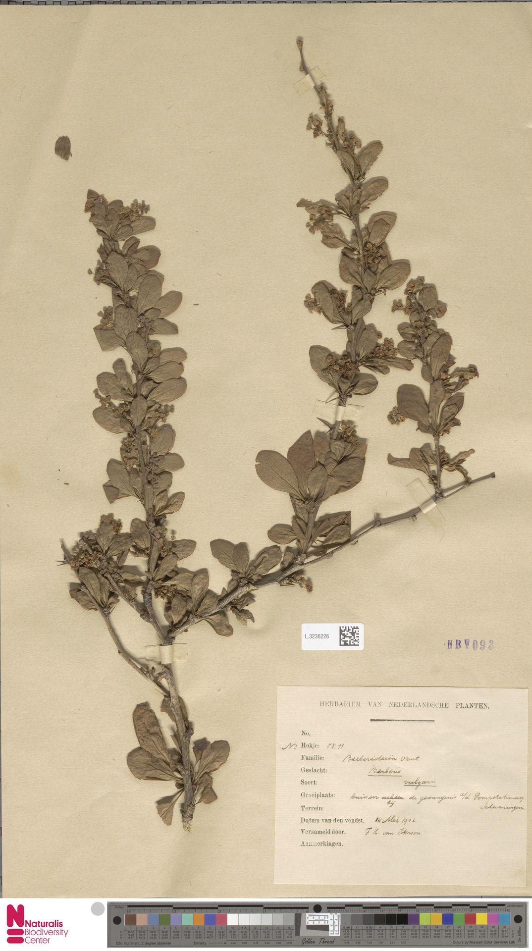 L.3236226 | Berberis vulgaris L.