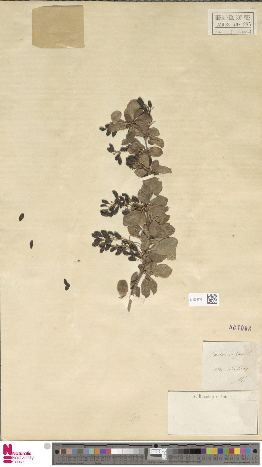 L.3236233   Berberis vulgaris L.