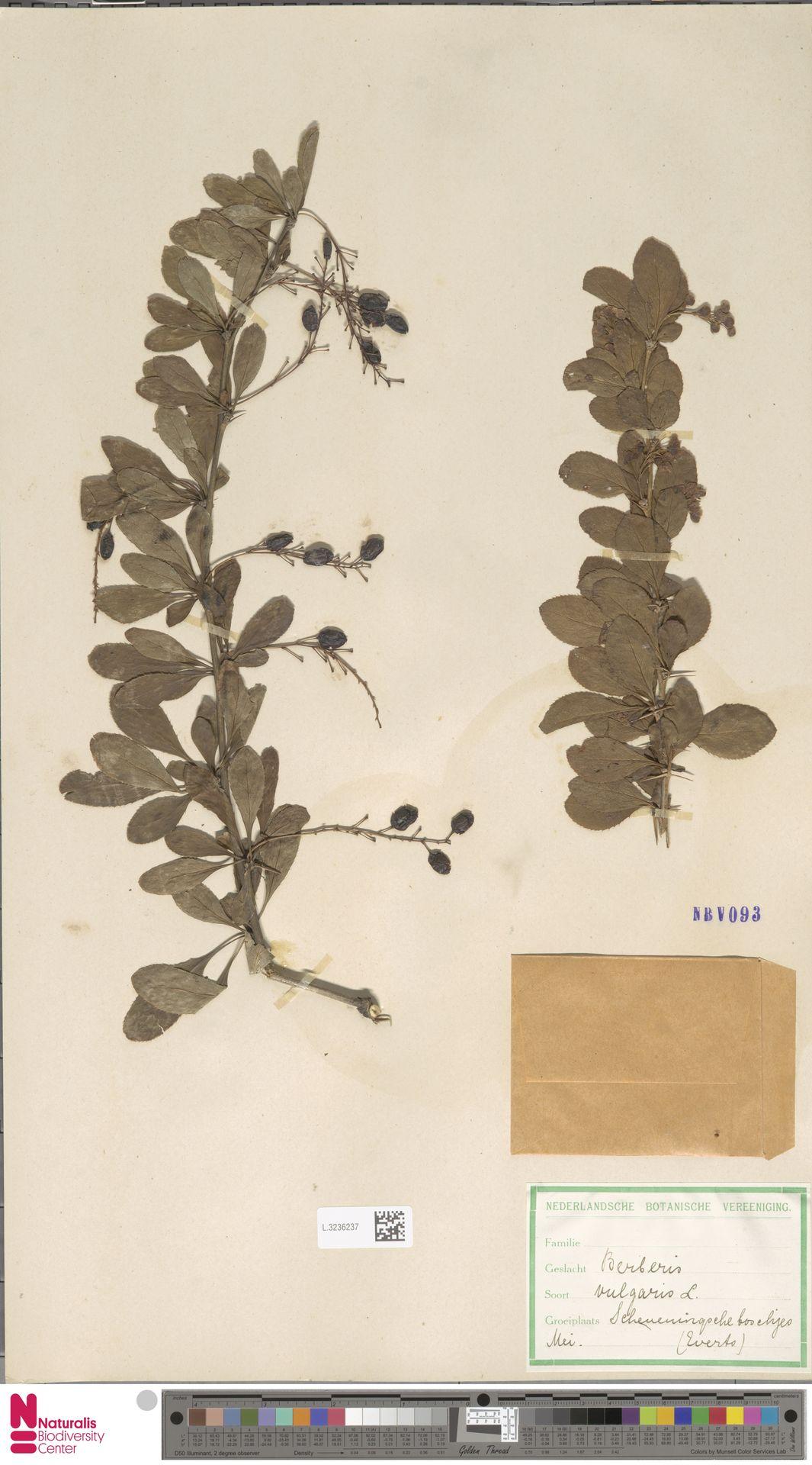 L.3236237 | Berberis vulgaris L.
