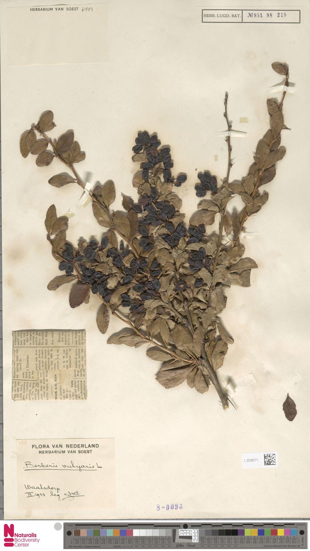 L.3236271 | Berberis vulgaris L.