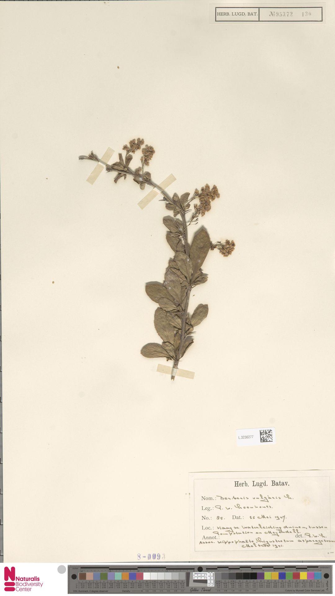 L.3236277 | Berberis vulgaris L.