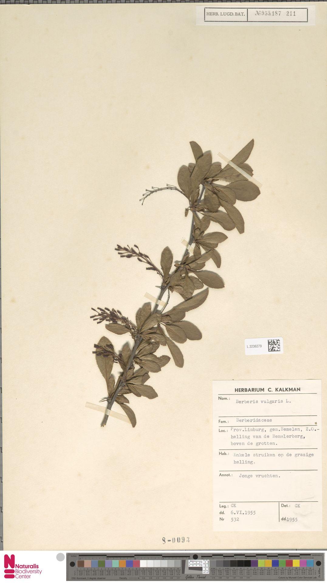L.3236279 | Berberis vulgaris L.