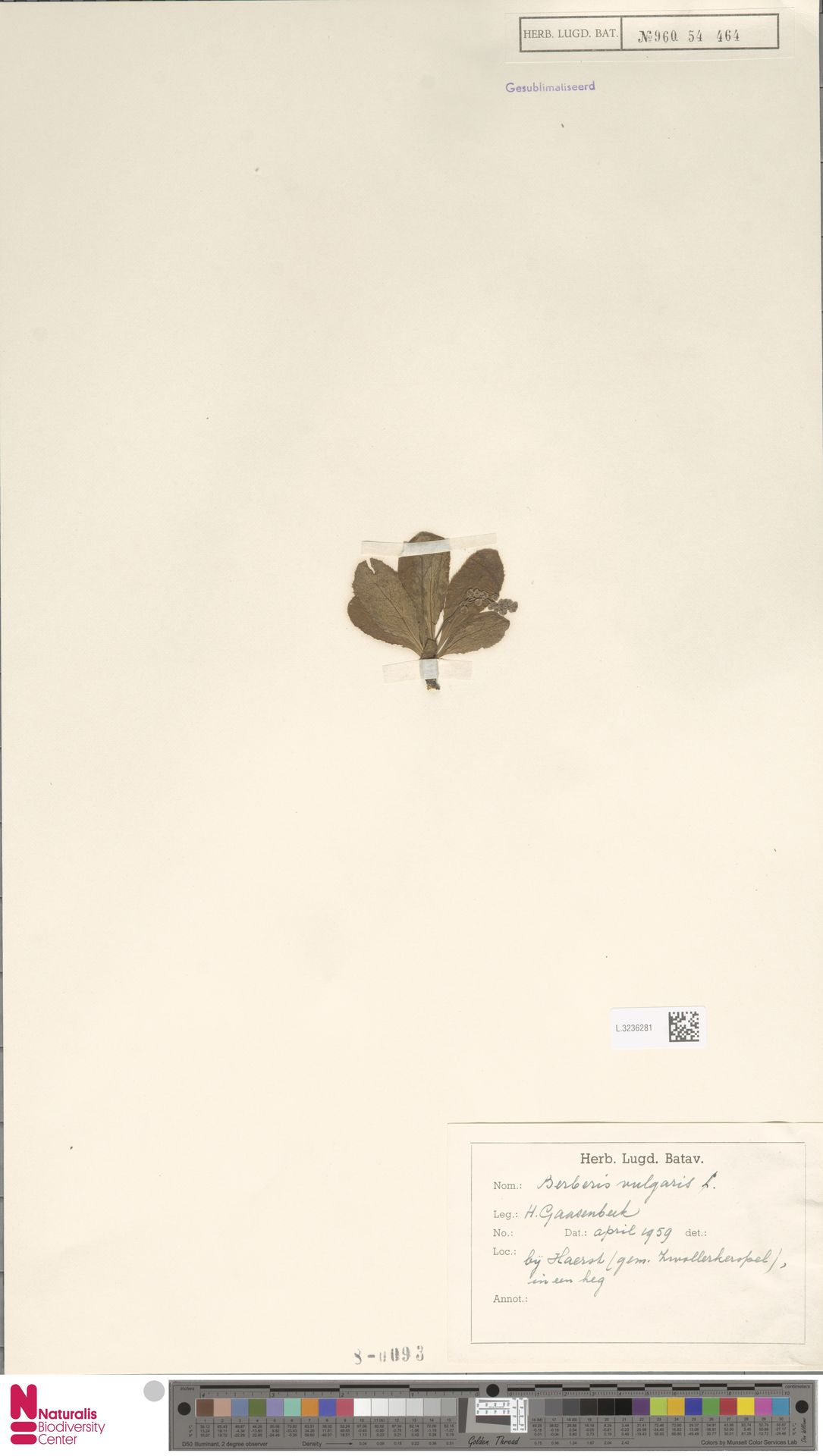 L.3236281 | Berberis vulgaris L.