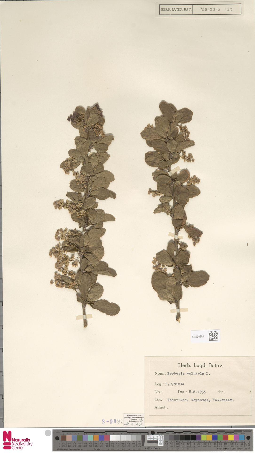 L.3236284 | Berberis vulgaris L.