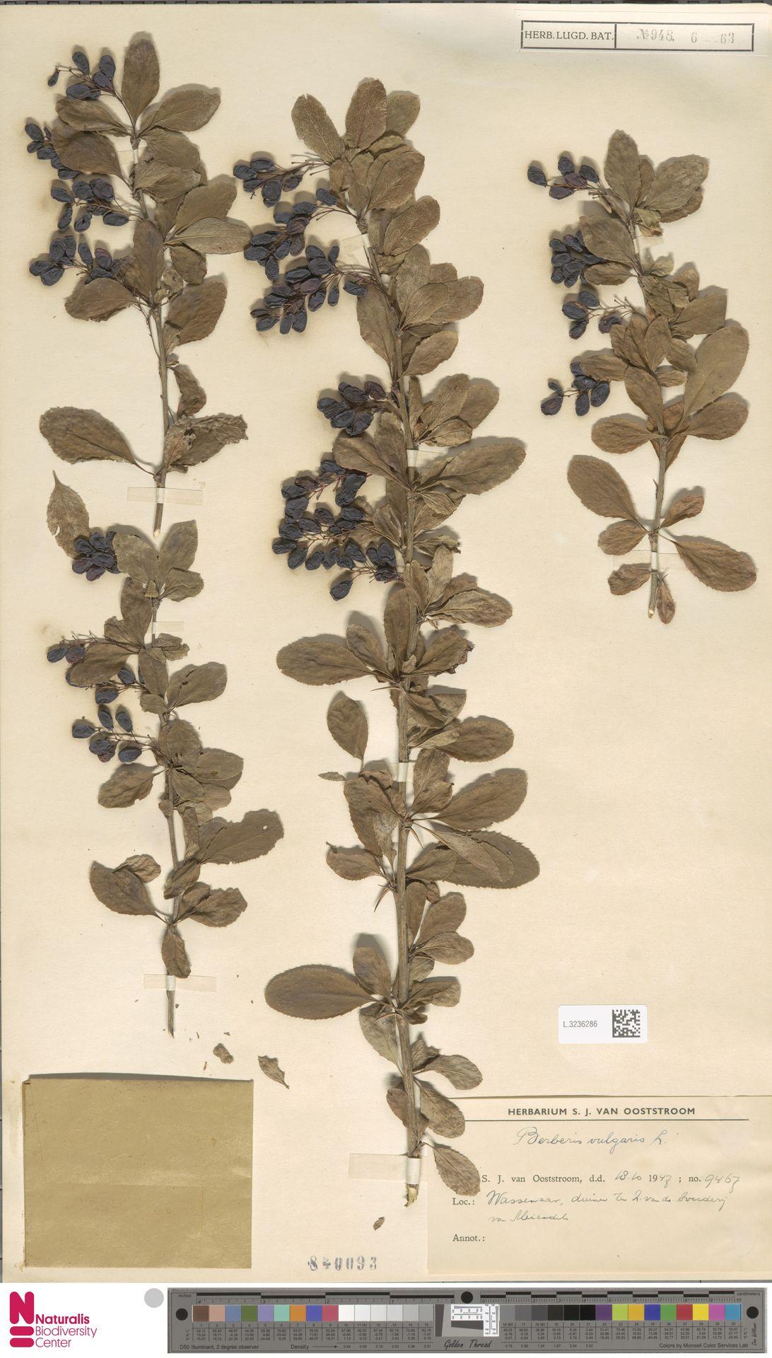 L.3236286 | Berberis vulgaris L.