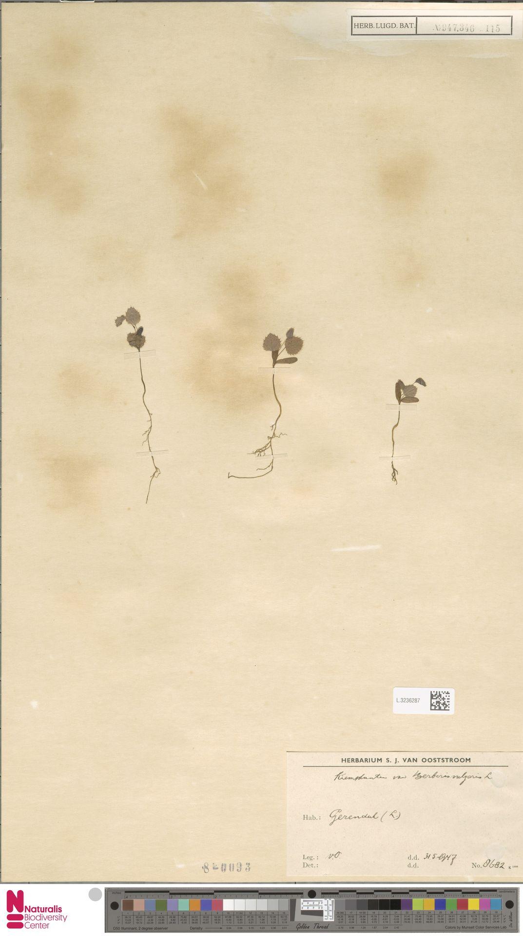 L.3236287 | Berberis vulgaris L.