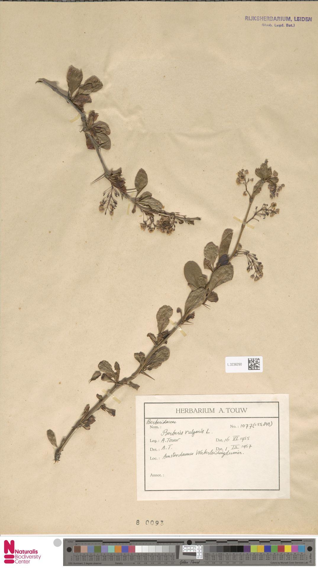 L.3236290   Berberis vulgaris L.