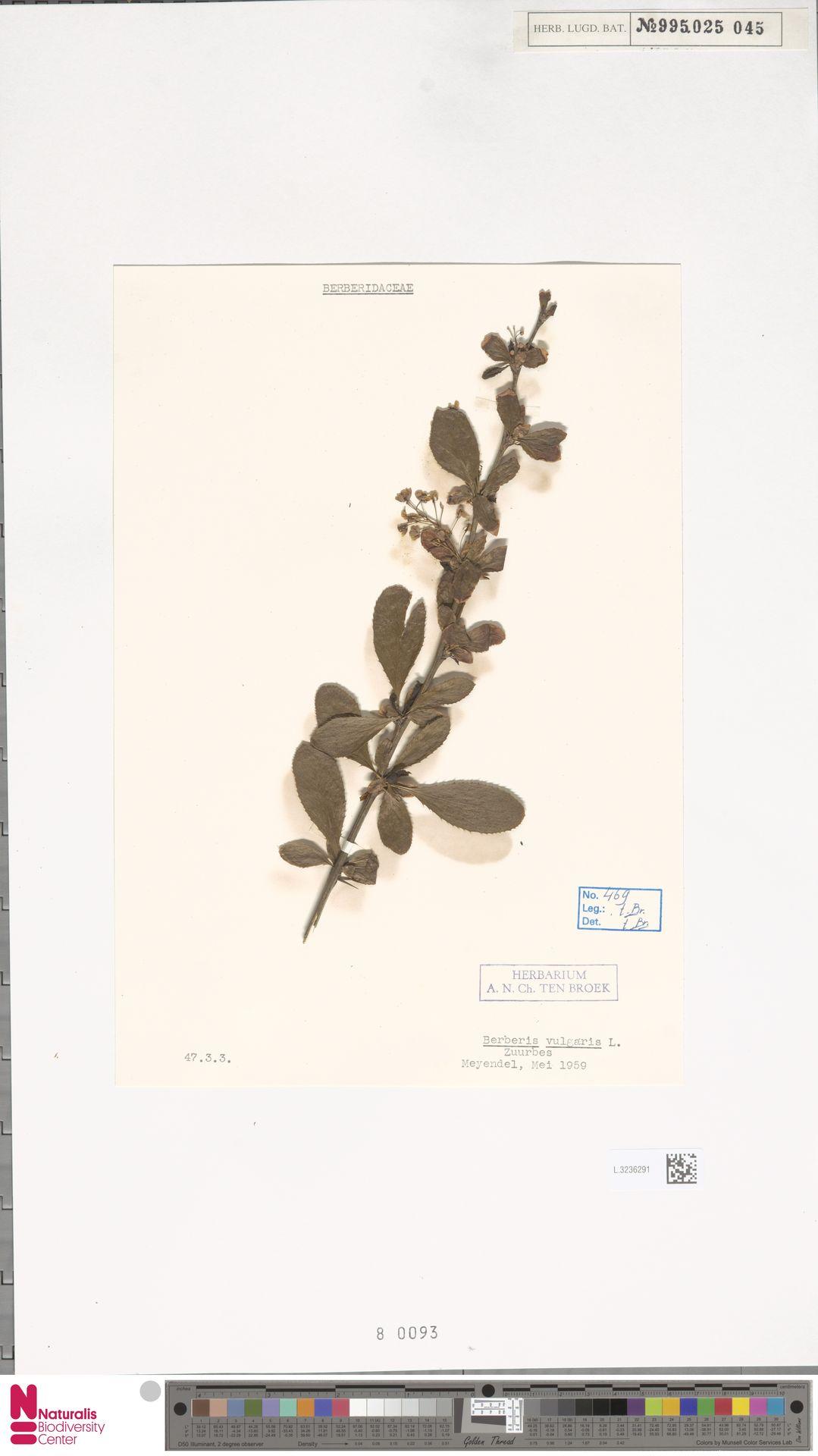 L.3236291 | Berberis vulgaris L.