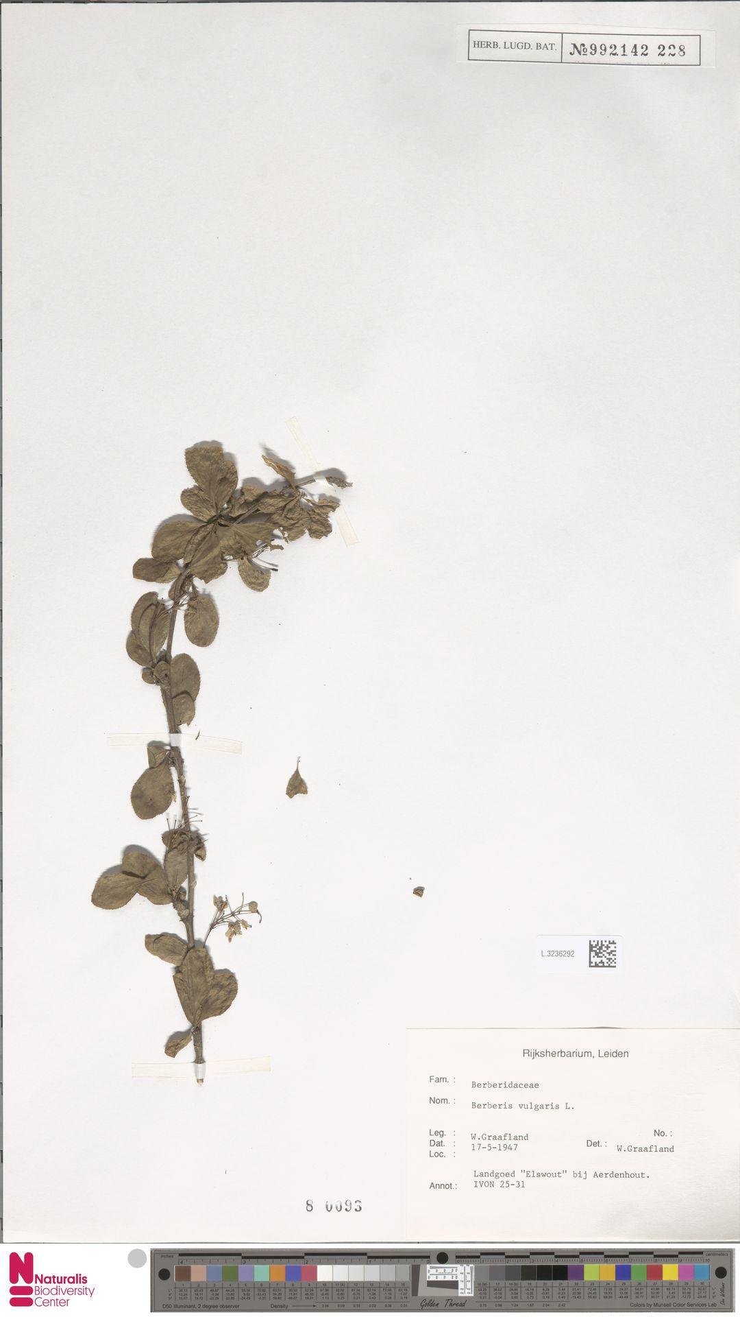 L.3236292 | Berberis vulgaris L.