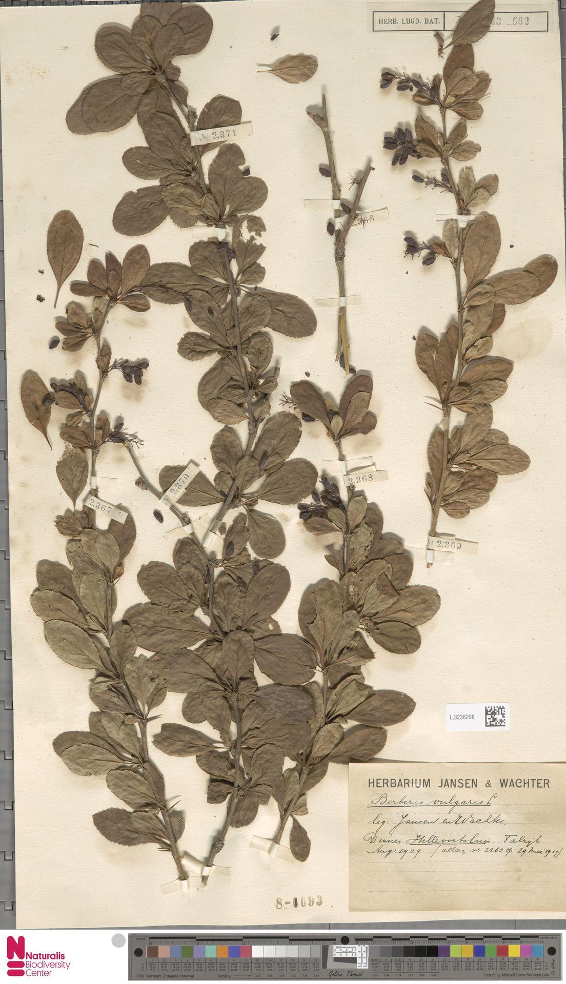 L.3236298 | Berberis vulgaris L.