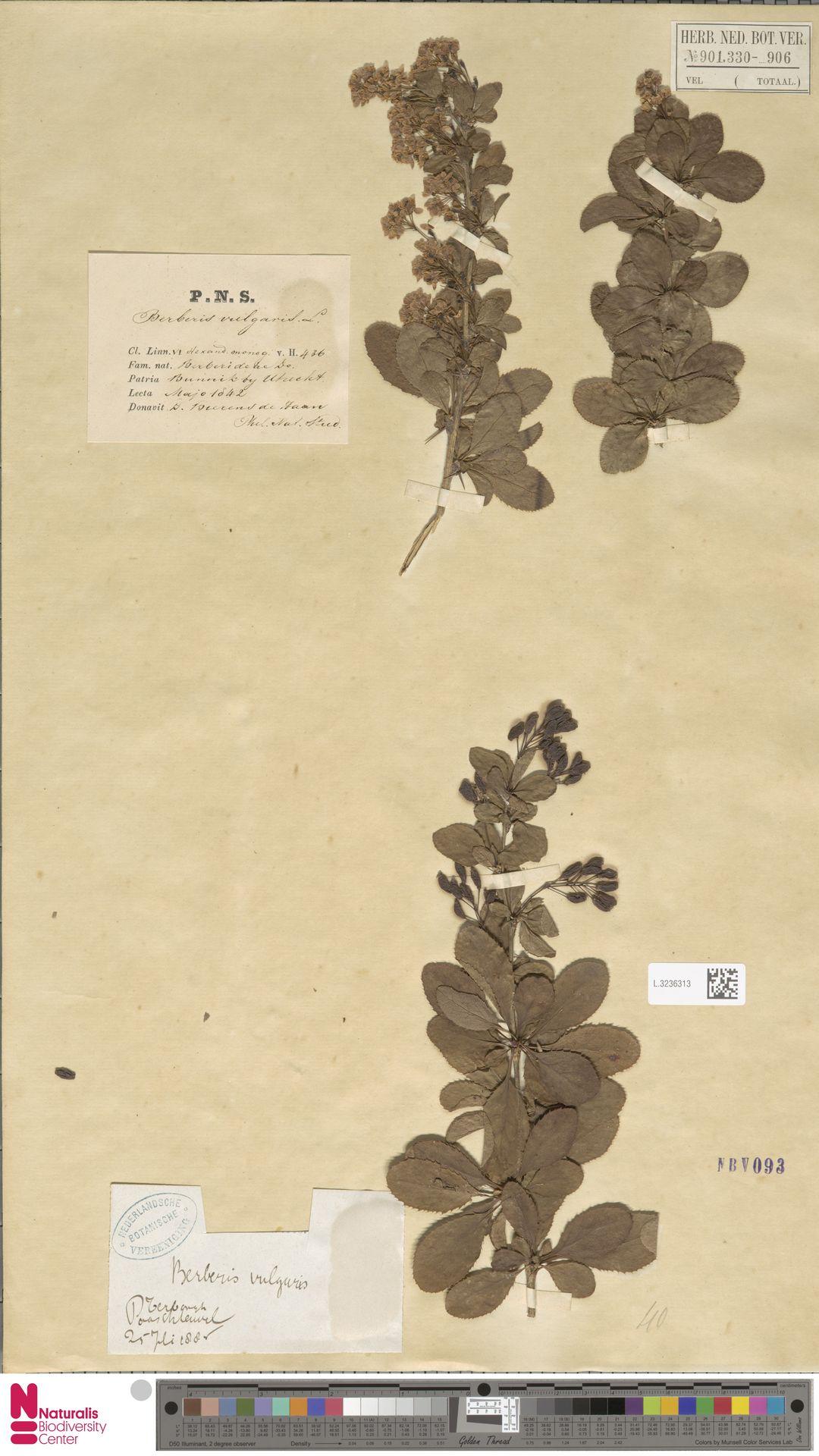 L.3236313 | Berberis vulgaris L.