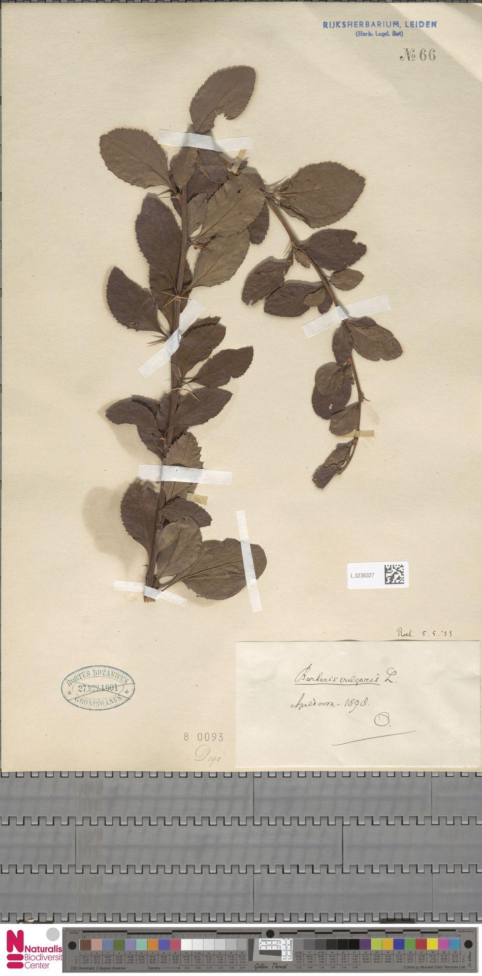 L.3236327 | Berberis vulgaris L.