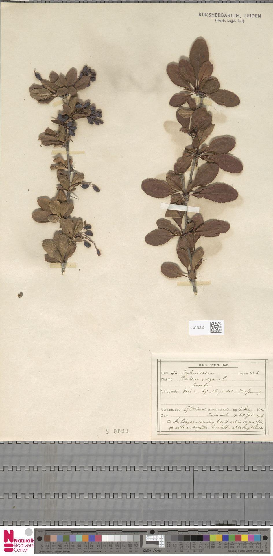 L.3236333   Berberis vulgaris L.