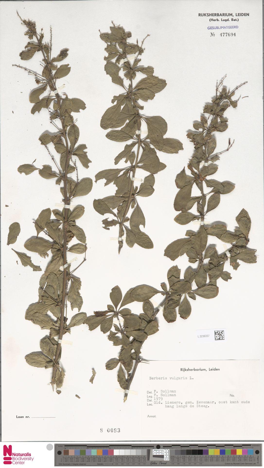 L.3236337 | Berberis vulgaris L.