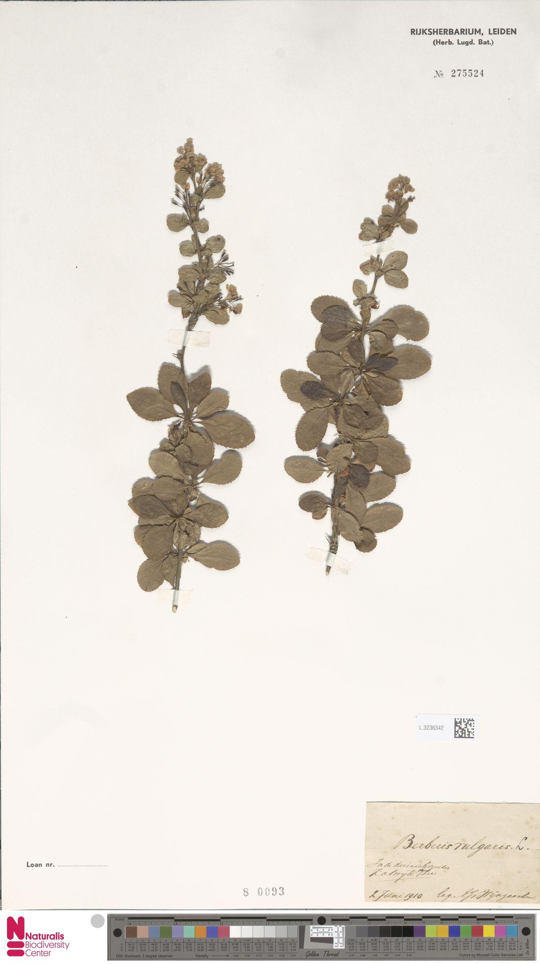 L.3236342 | Berberis vulgaris L.