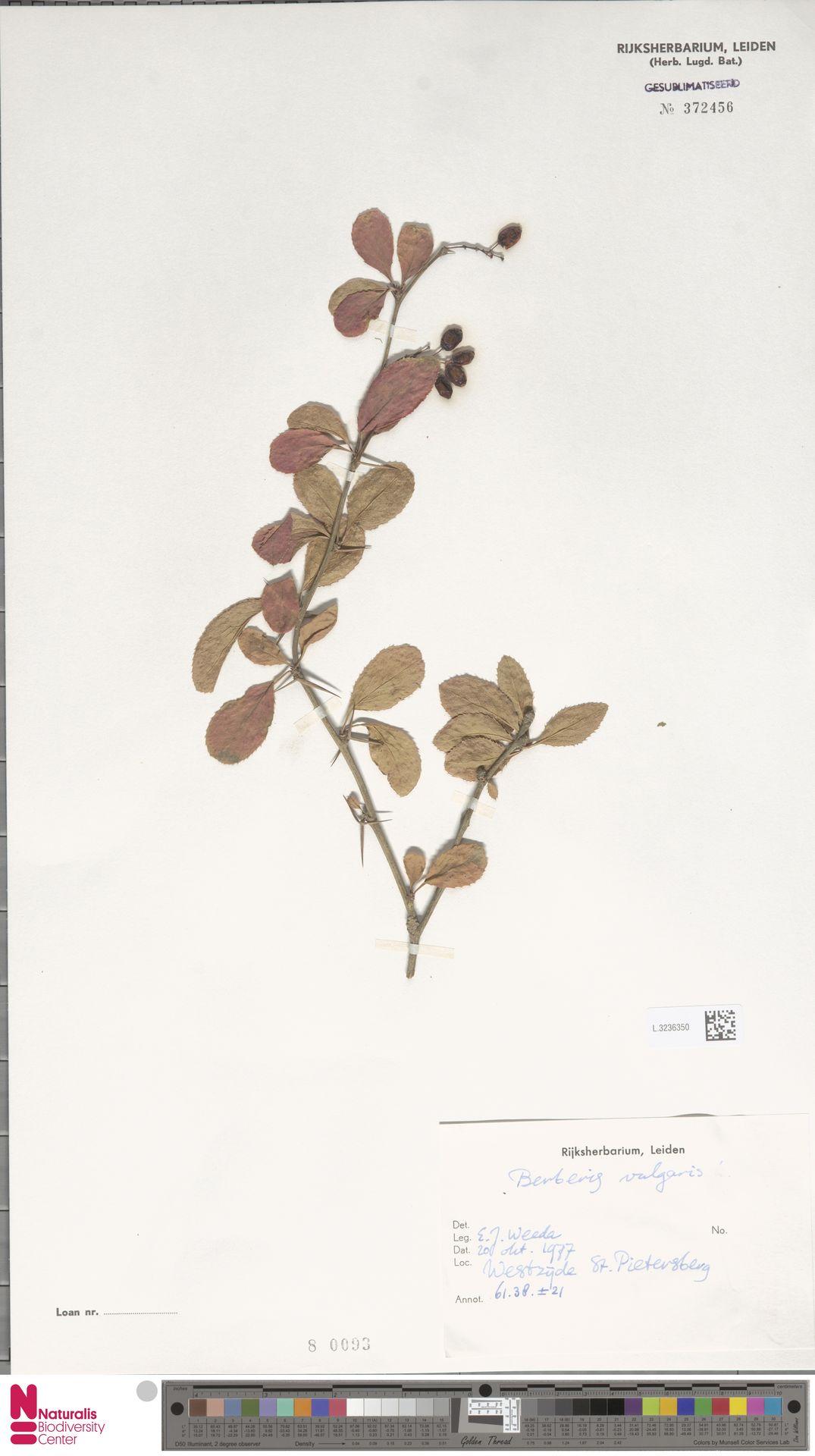 L.3236350 | Berberis vulgaris L.