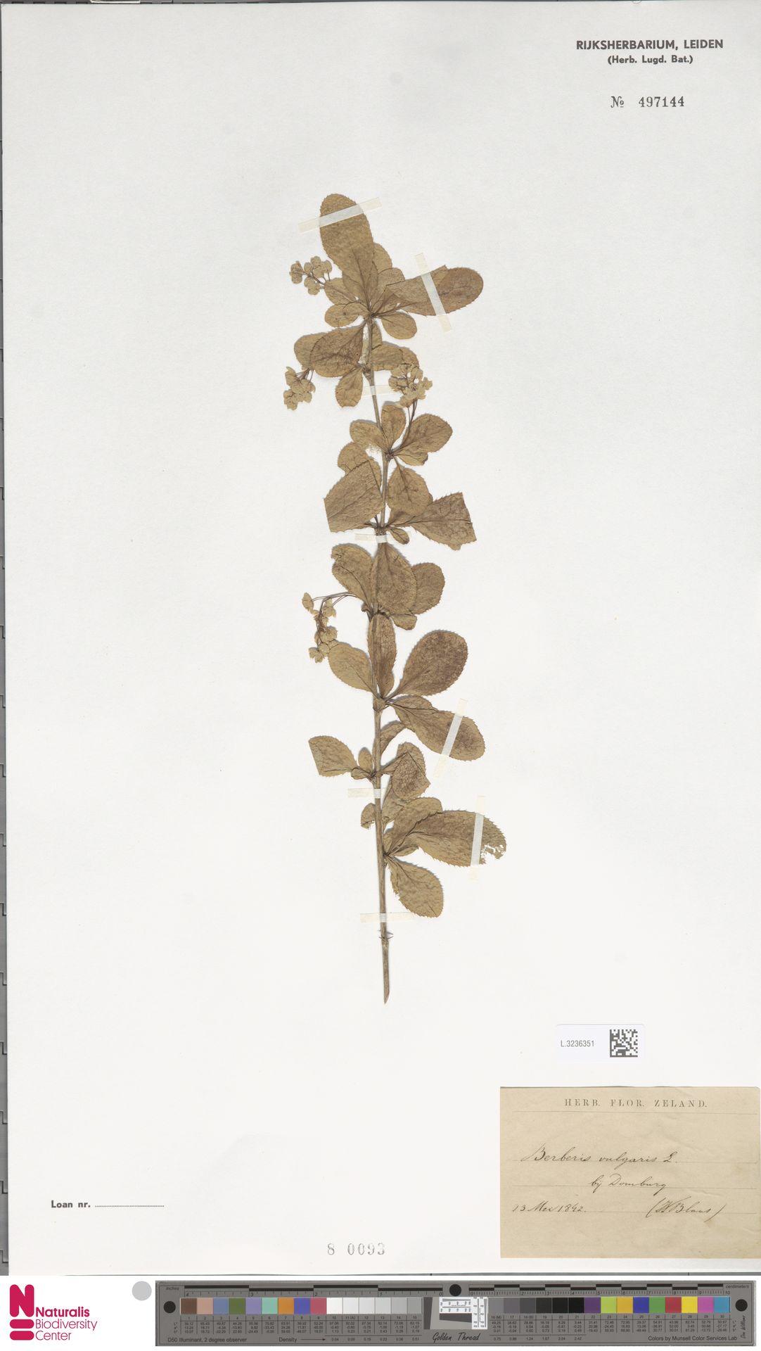 L.3236351   Berberis vulgaris L.