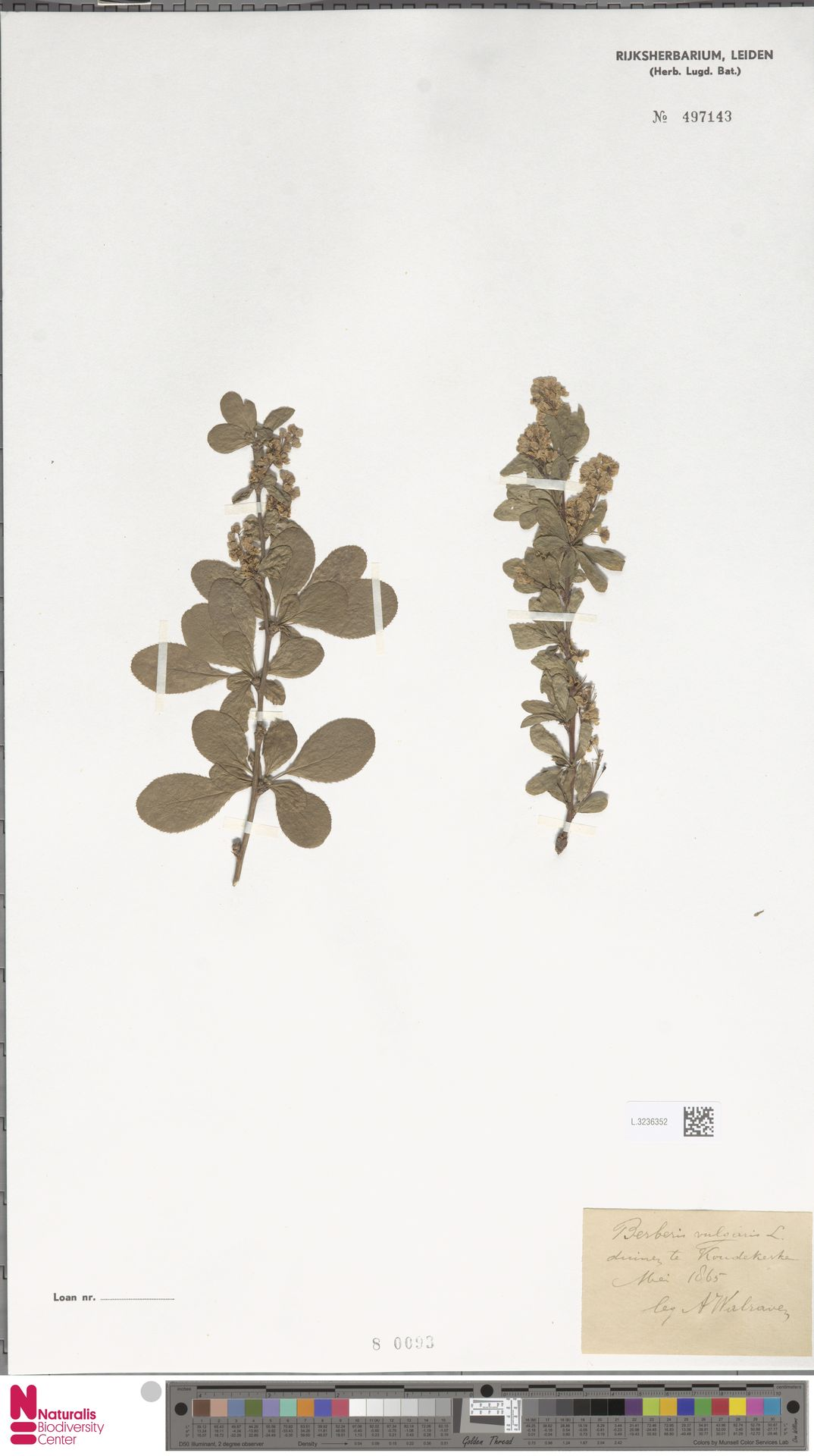 L.3236352 | Berberis vulgaris L.