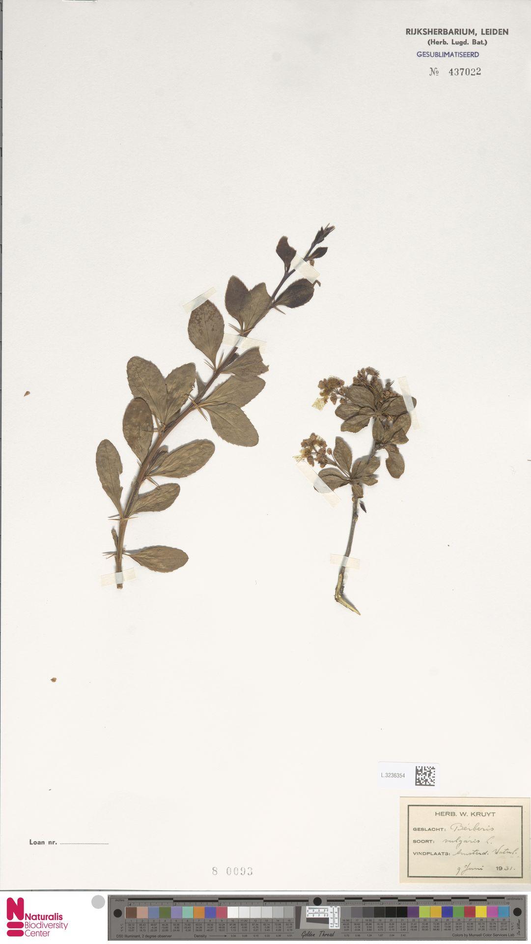 L.3236354 | Berberis vulgaris L.