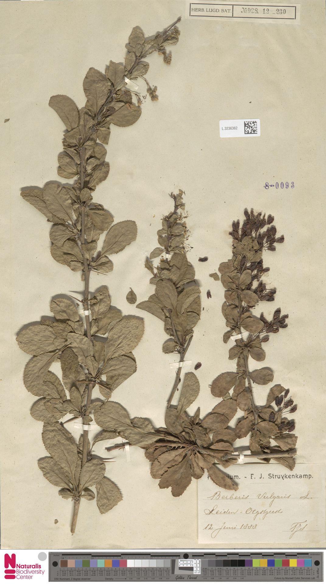 L.3236362 | Berberis vulgaris L.