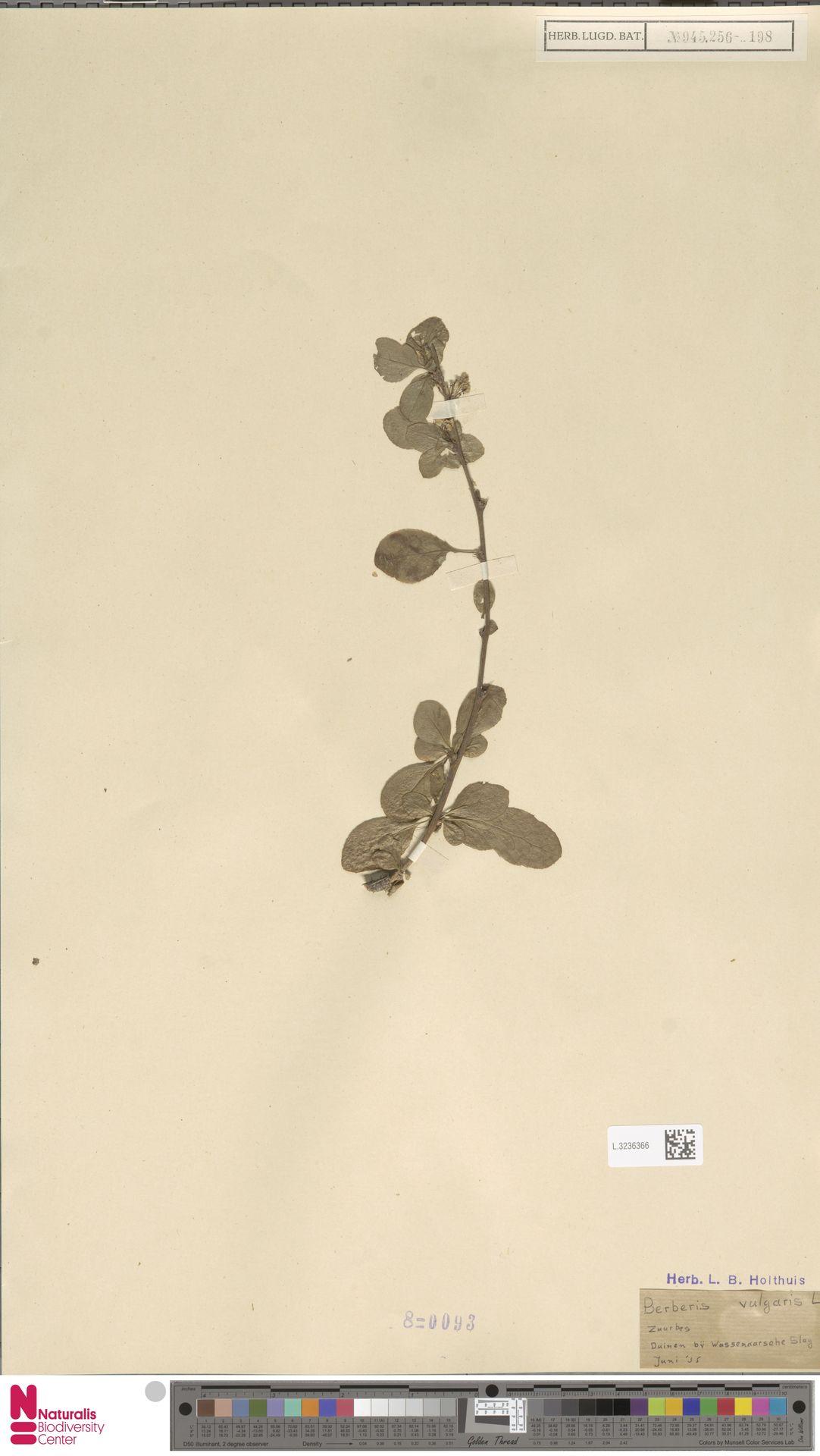 L.3236366 | Berberis vulgaris L.