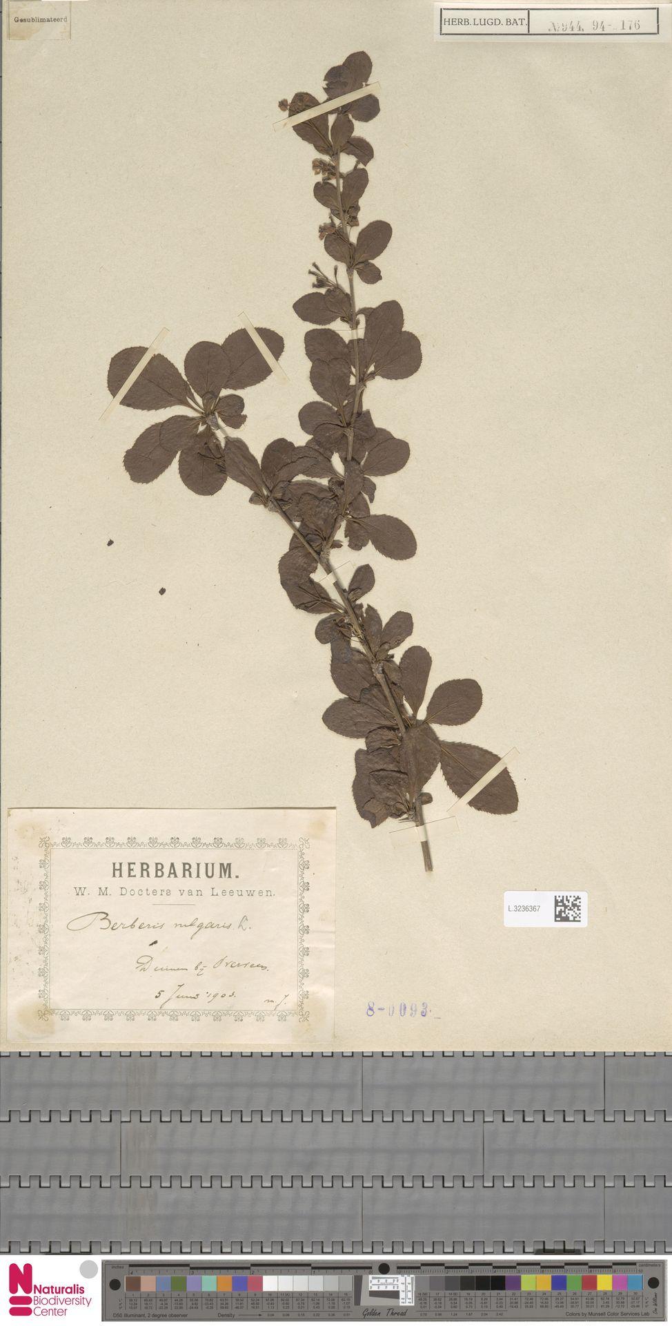 L.3236367 | Berberis vulgaris L.