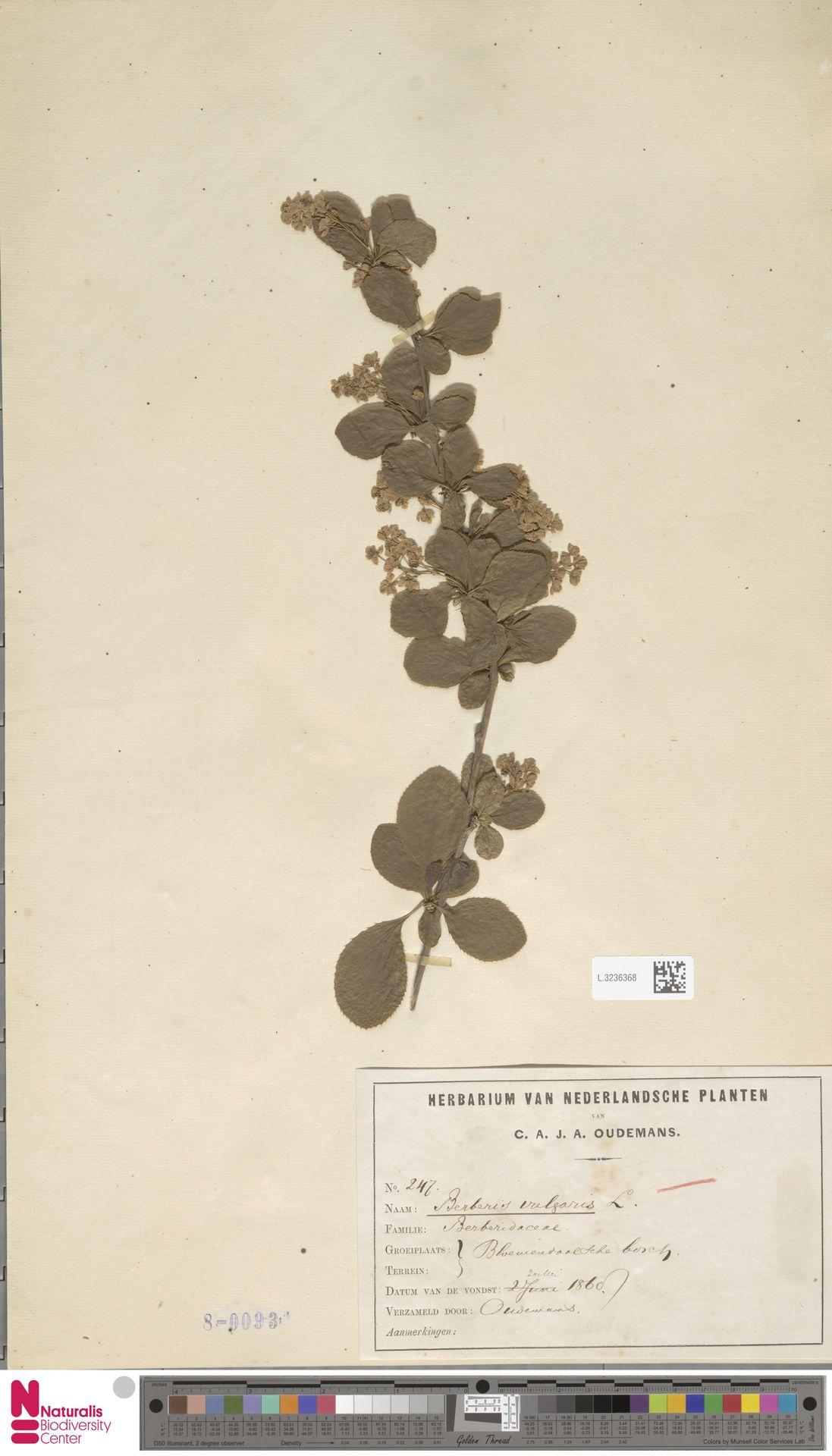 L.3236368   Berberis vulgaris L.