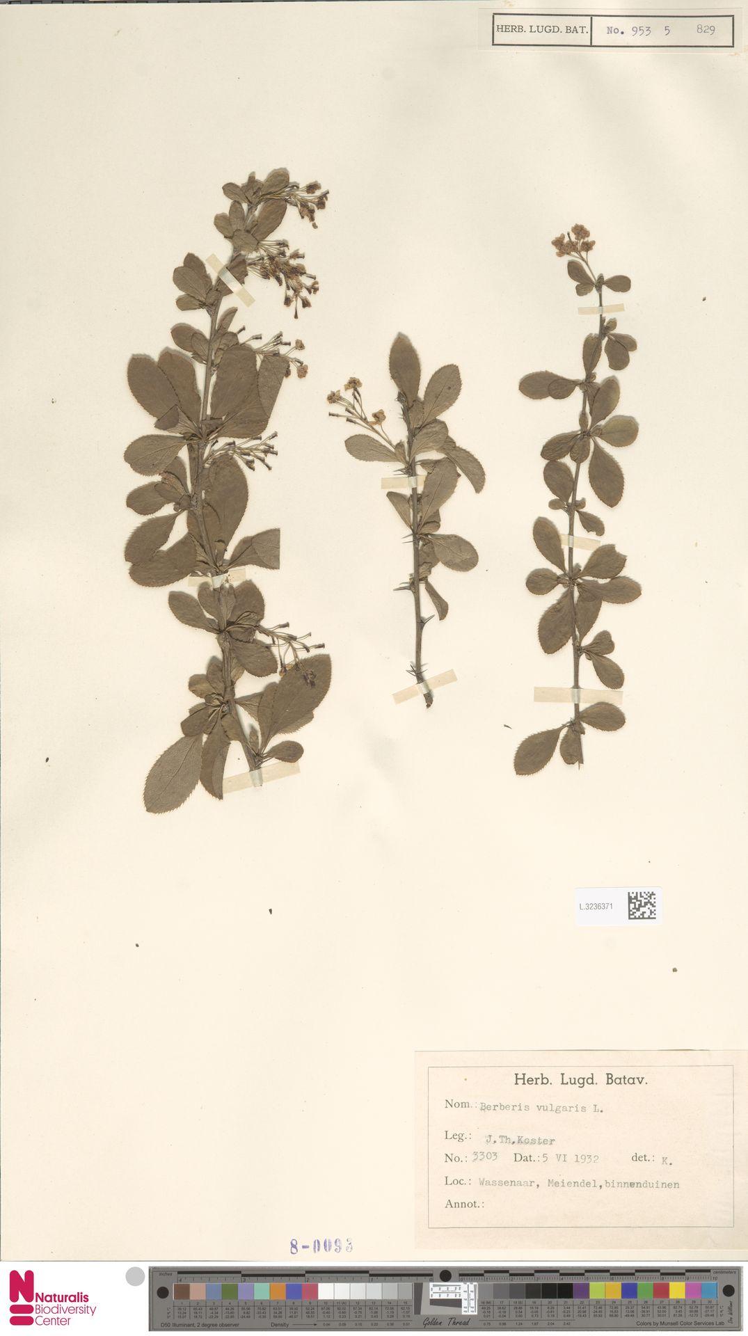 L.3236371 | Berberis vulgaris L.