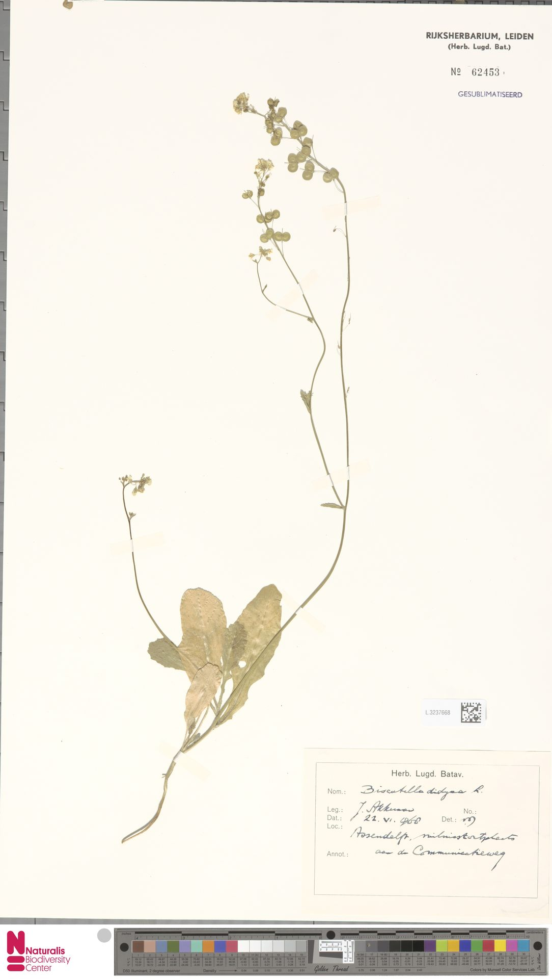 L.3237668 | Biscutella didyma L.