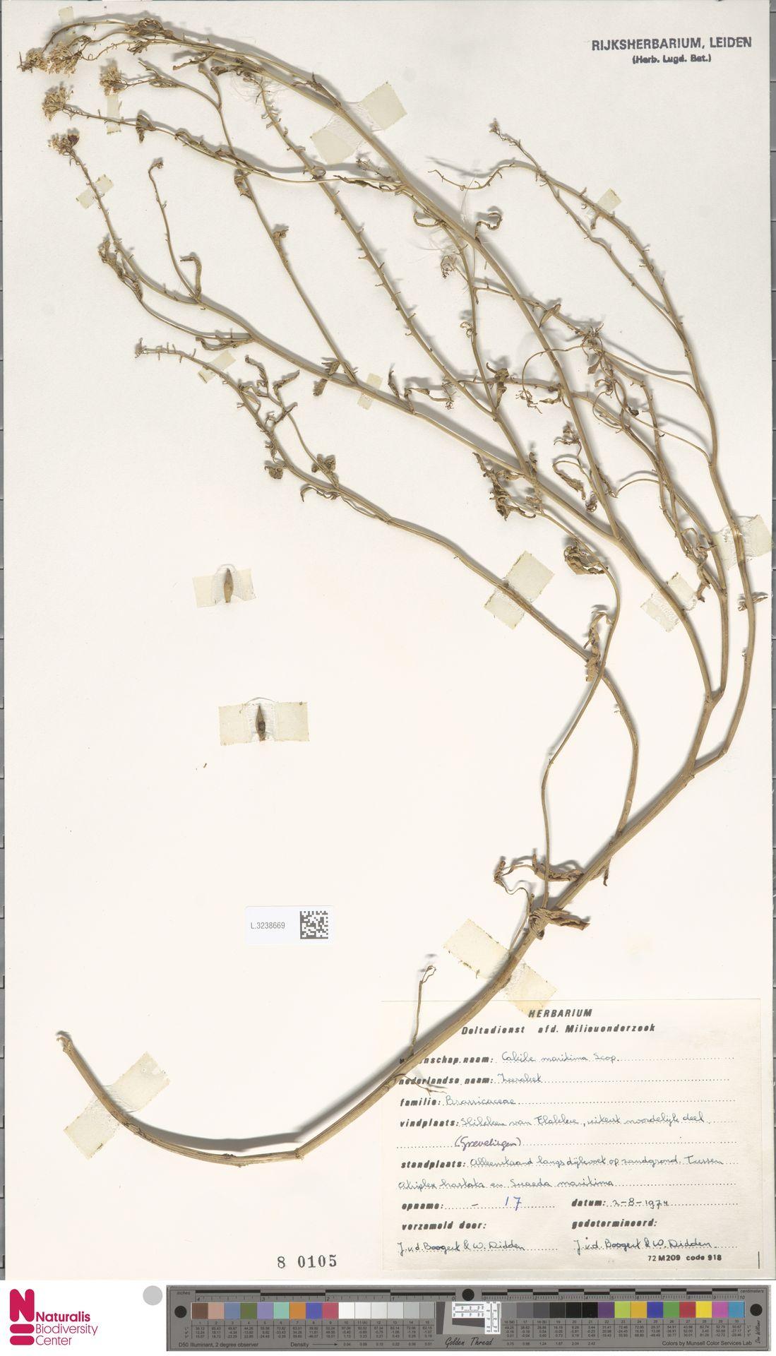 L.3238669 | Cakile maritima Scop.
