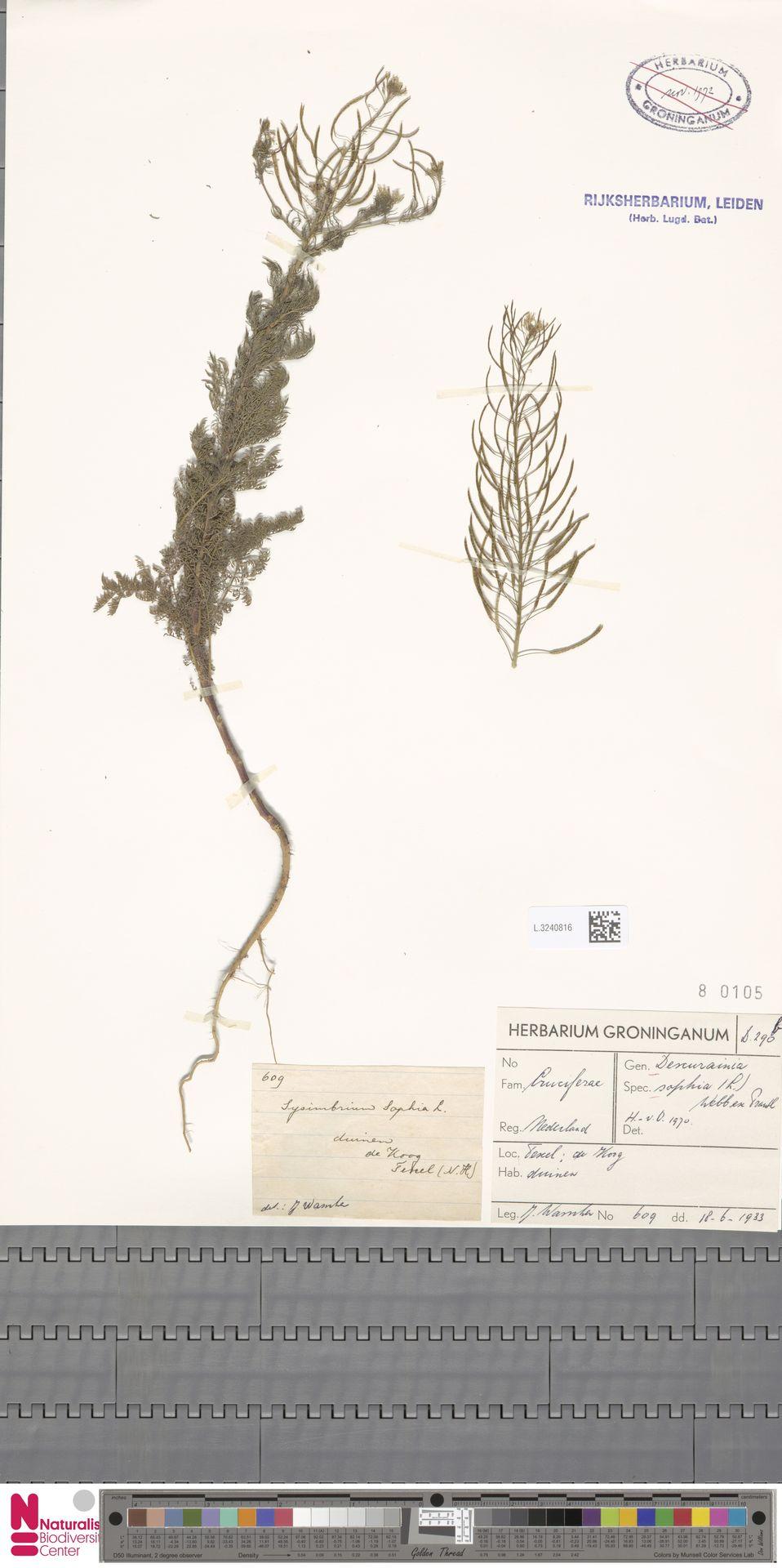 L.3240816 | Descurainia sophia (L.) Webb ex Prantl