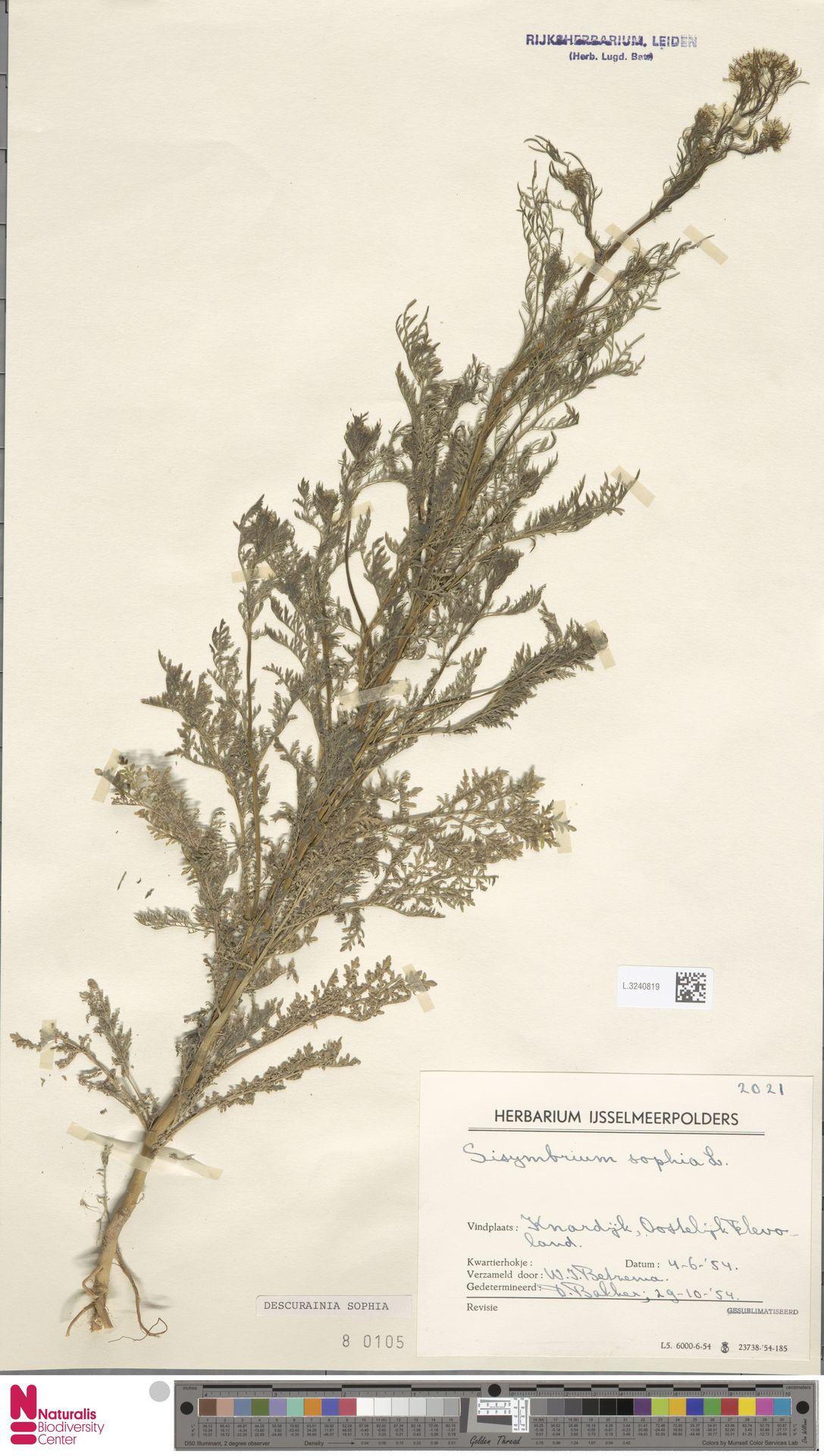 L.3240819   Descurainia sophia (L.) Webb ex Prantl