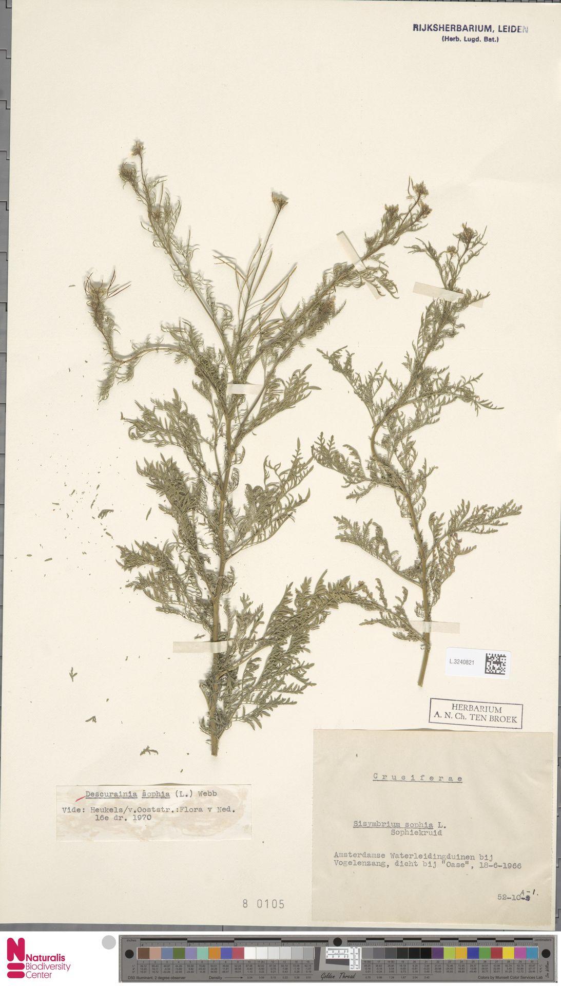 L.3240821 | Descurainia sophia (L.) Webb ex Prantl