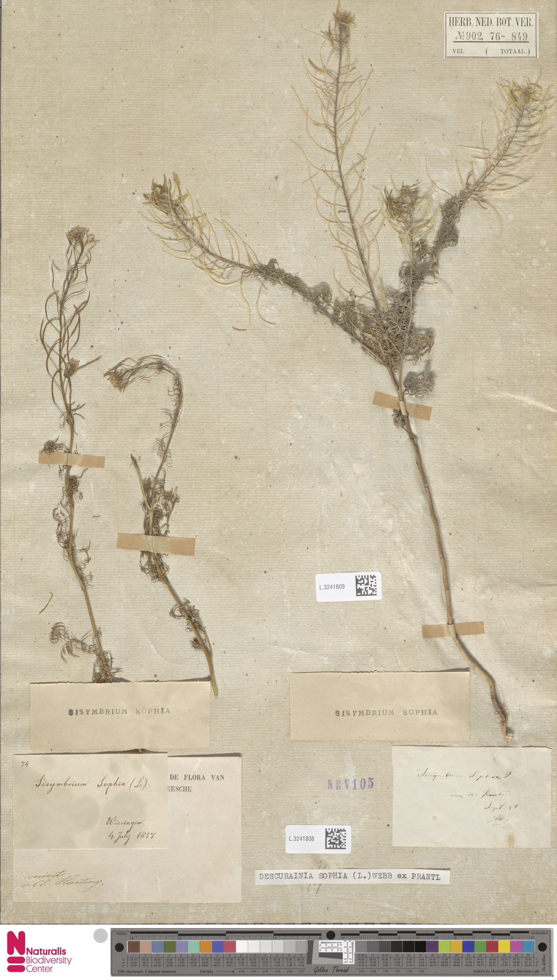 L.3241809 | Descurainia sophia (L.) Webb ex Prantl
