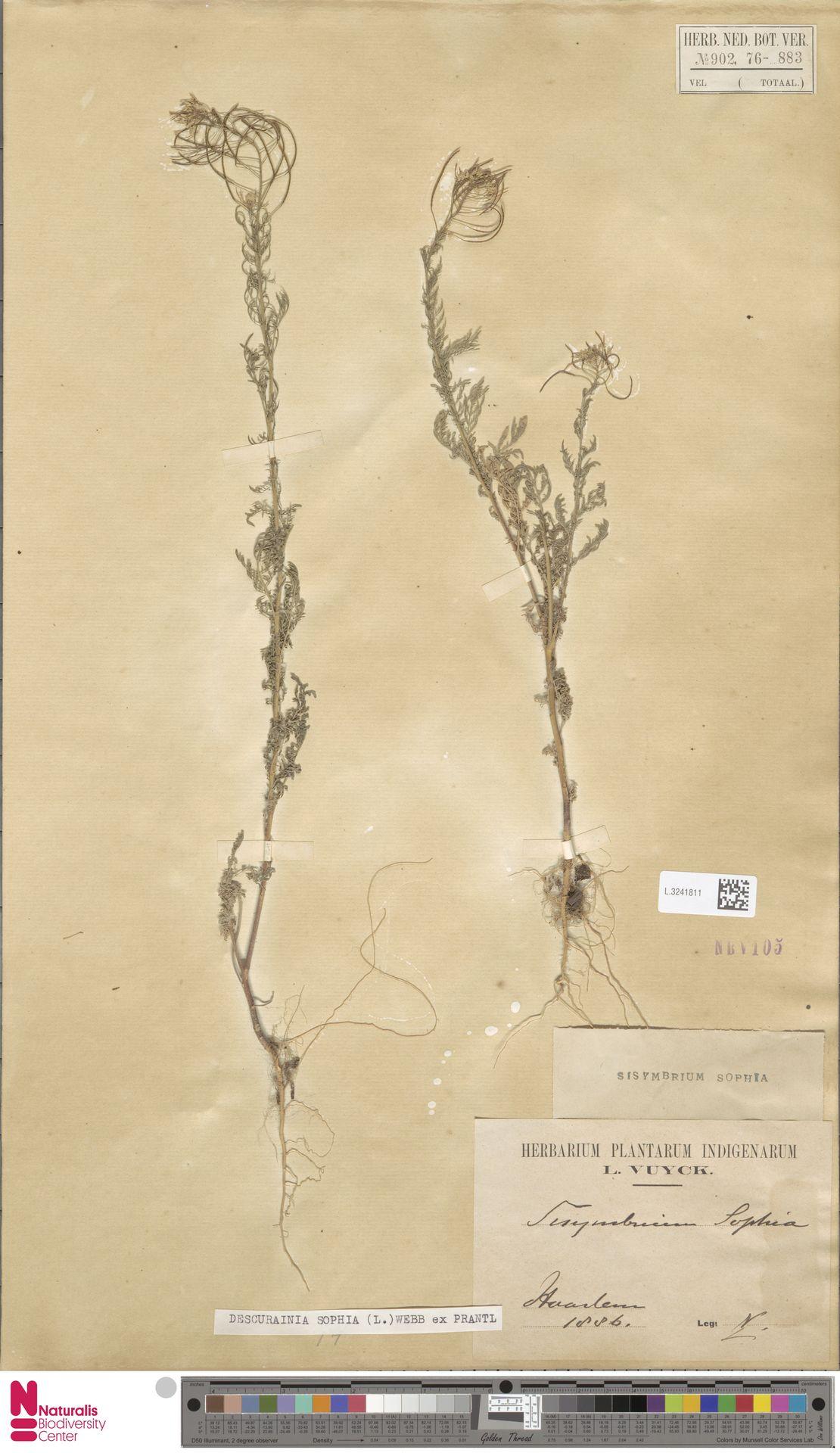L.3241811 | Descurainia sophia (L.) Webb ex Prantl