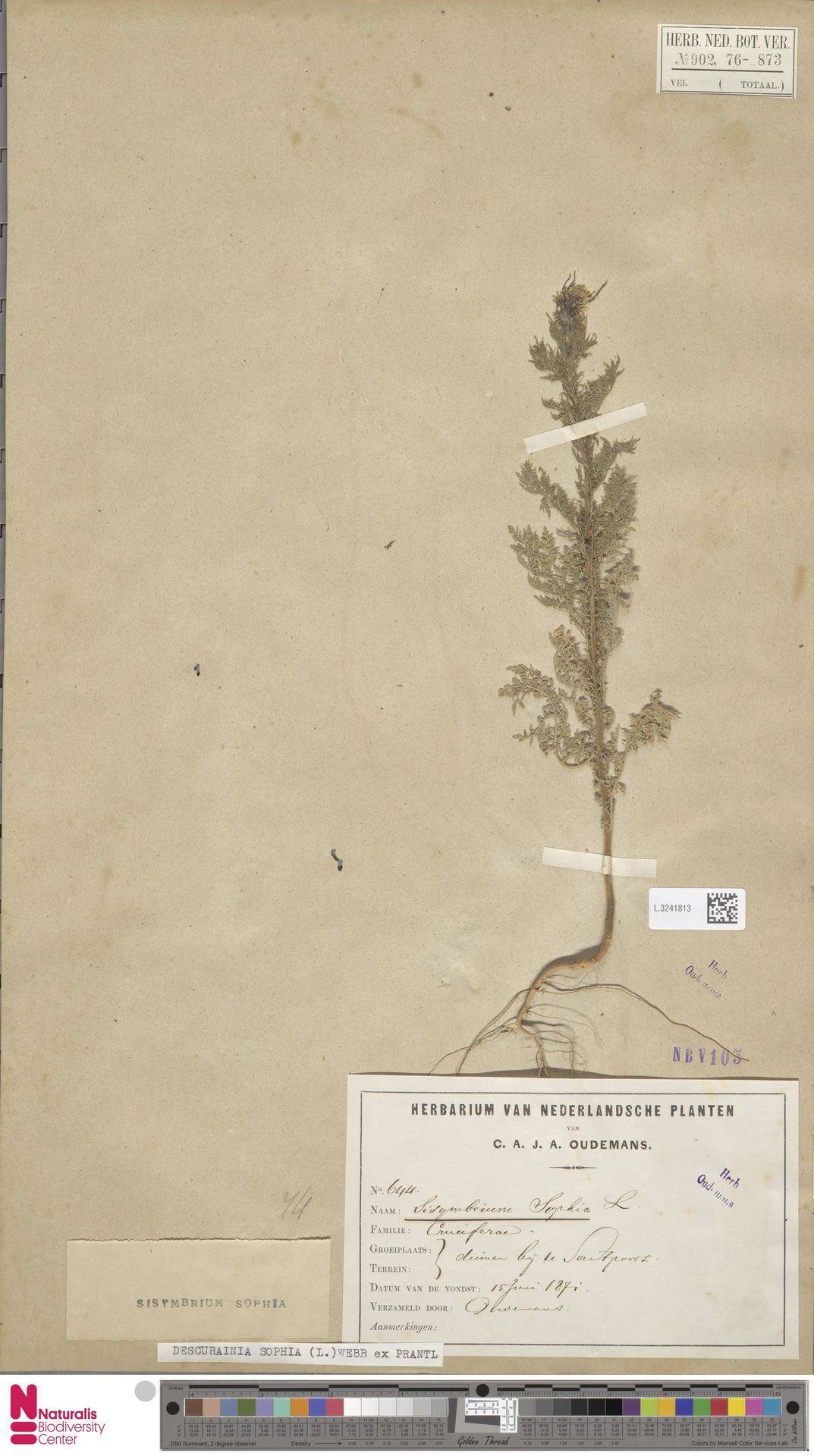 L.3241813 | Descurainia sophia (L.) Webb ex Prantl