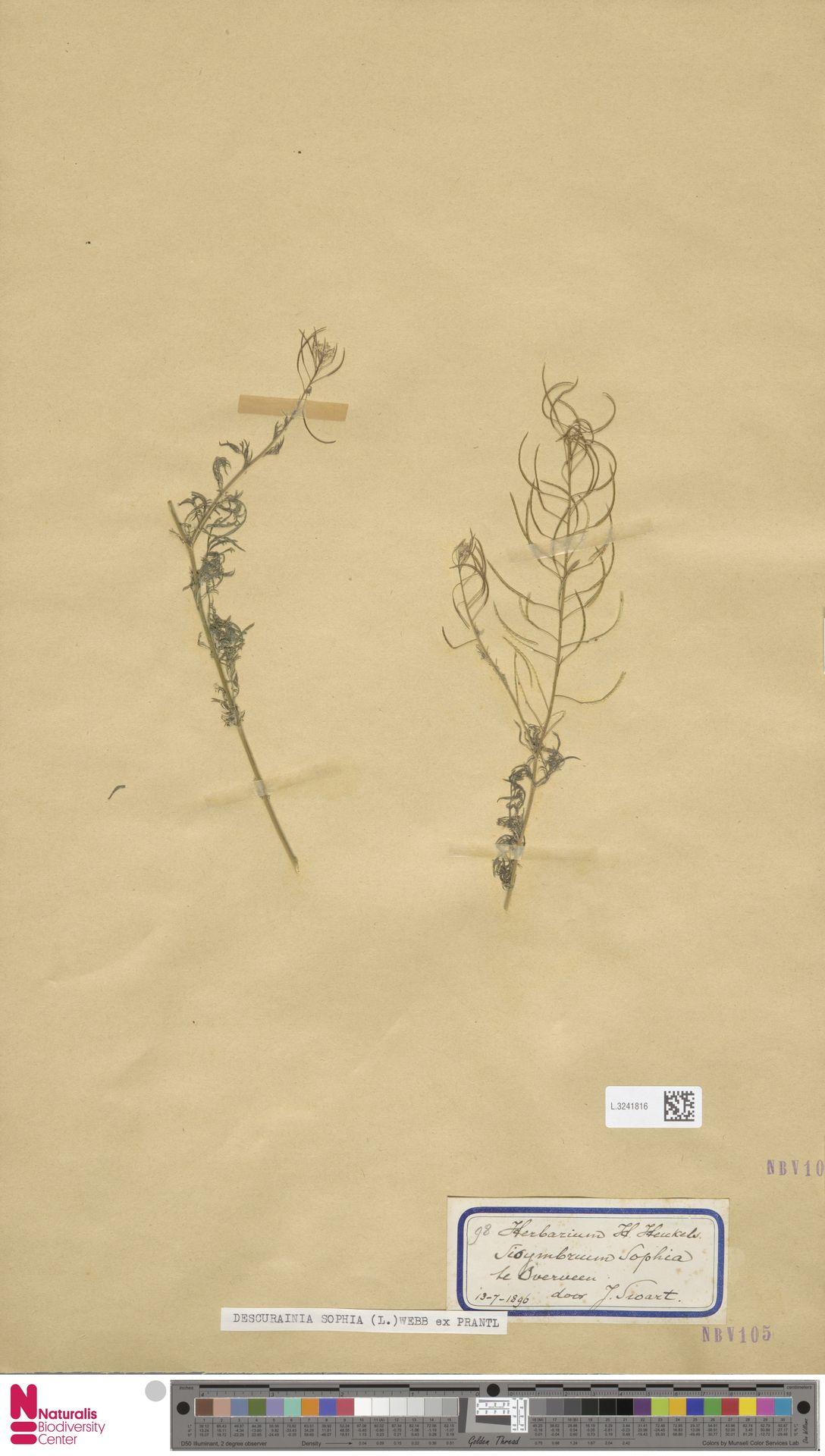 L.3241816 | Descurainia sophia (L.) Webb ex Prantl