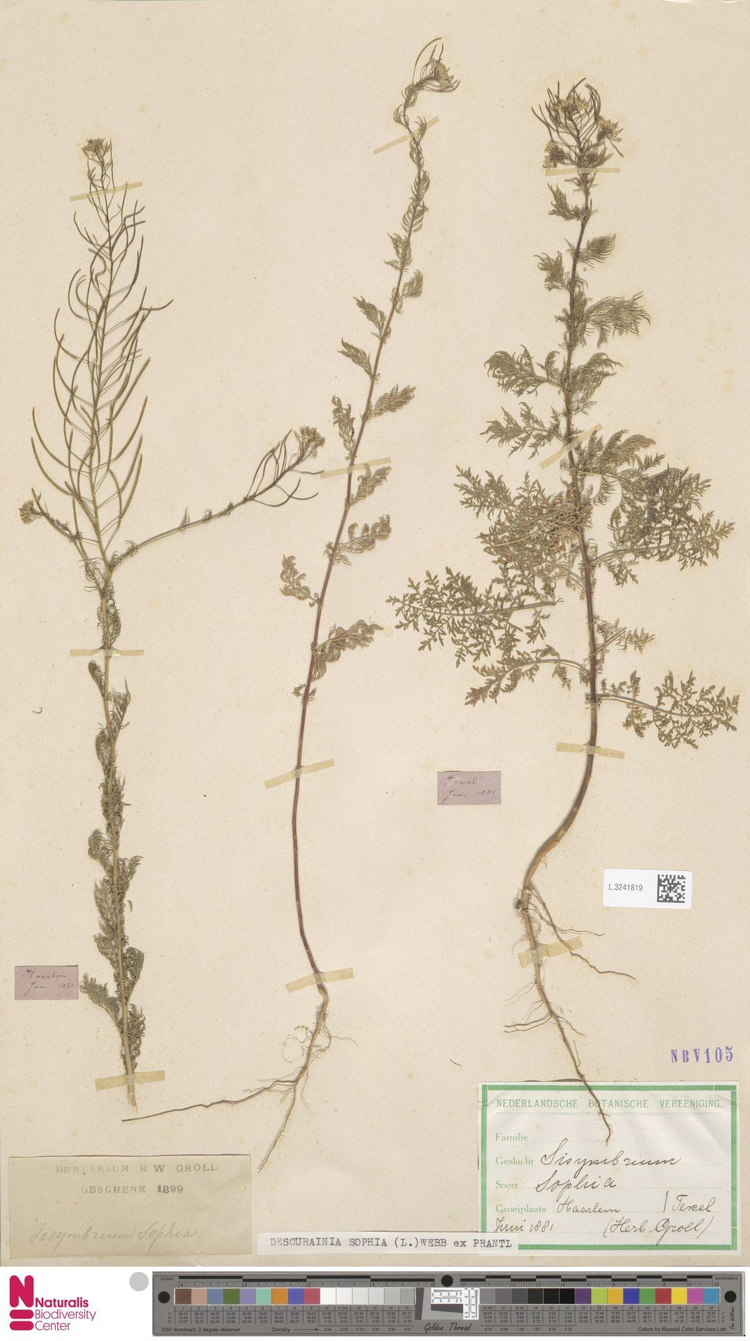 L.3241819 | Descurainia sophia (L.) Webb ex Prantl