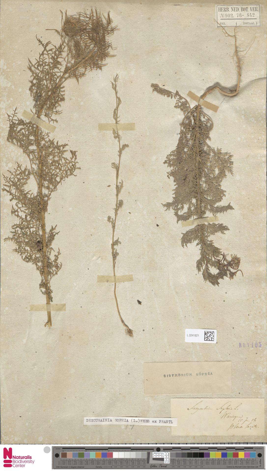 L.3241821 | Descurainia sophia (L.) Webb ex Prantl