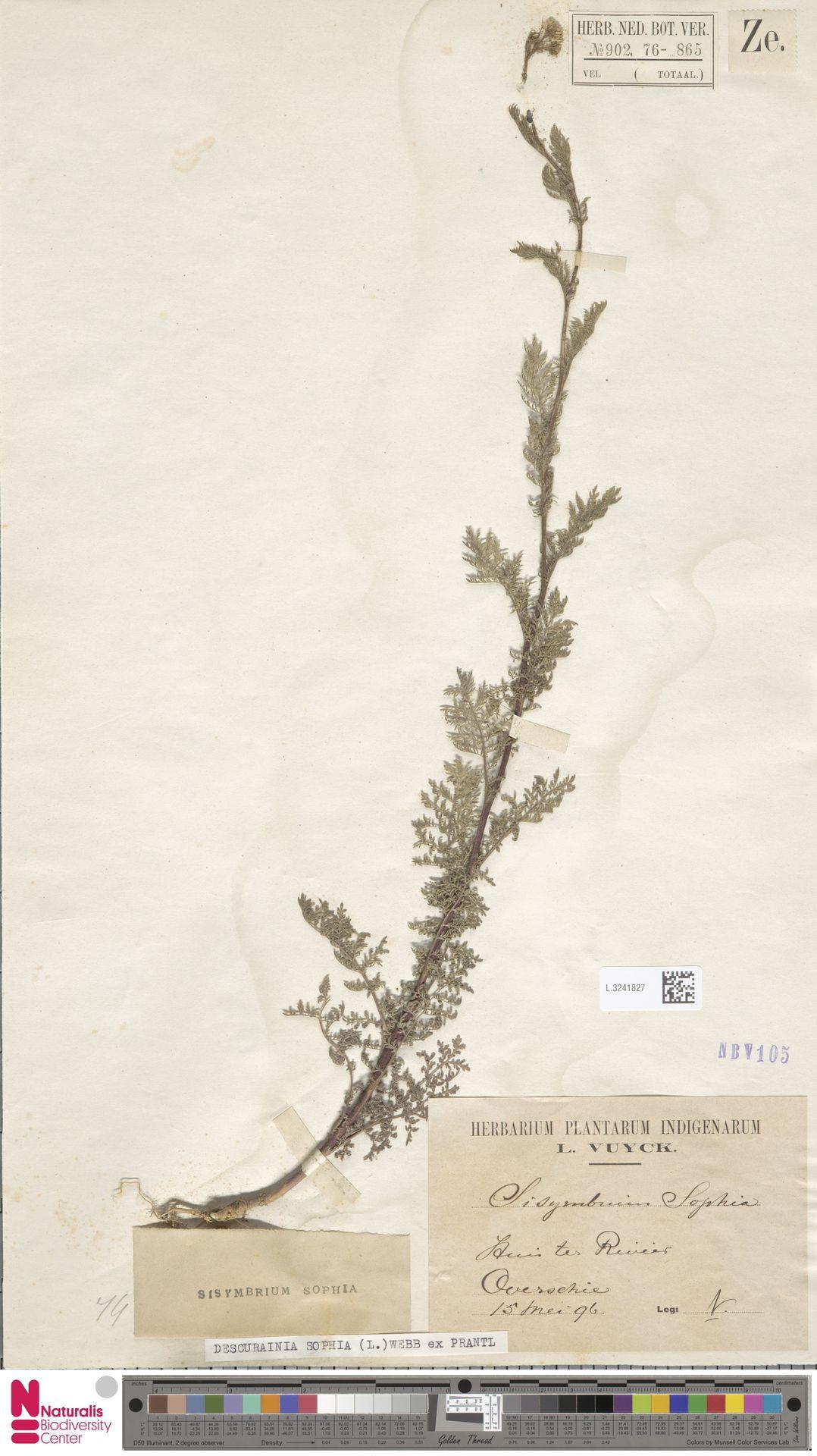 L.3241827 | Descurainia sophia (L.) Webb ex Prantl