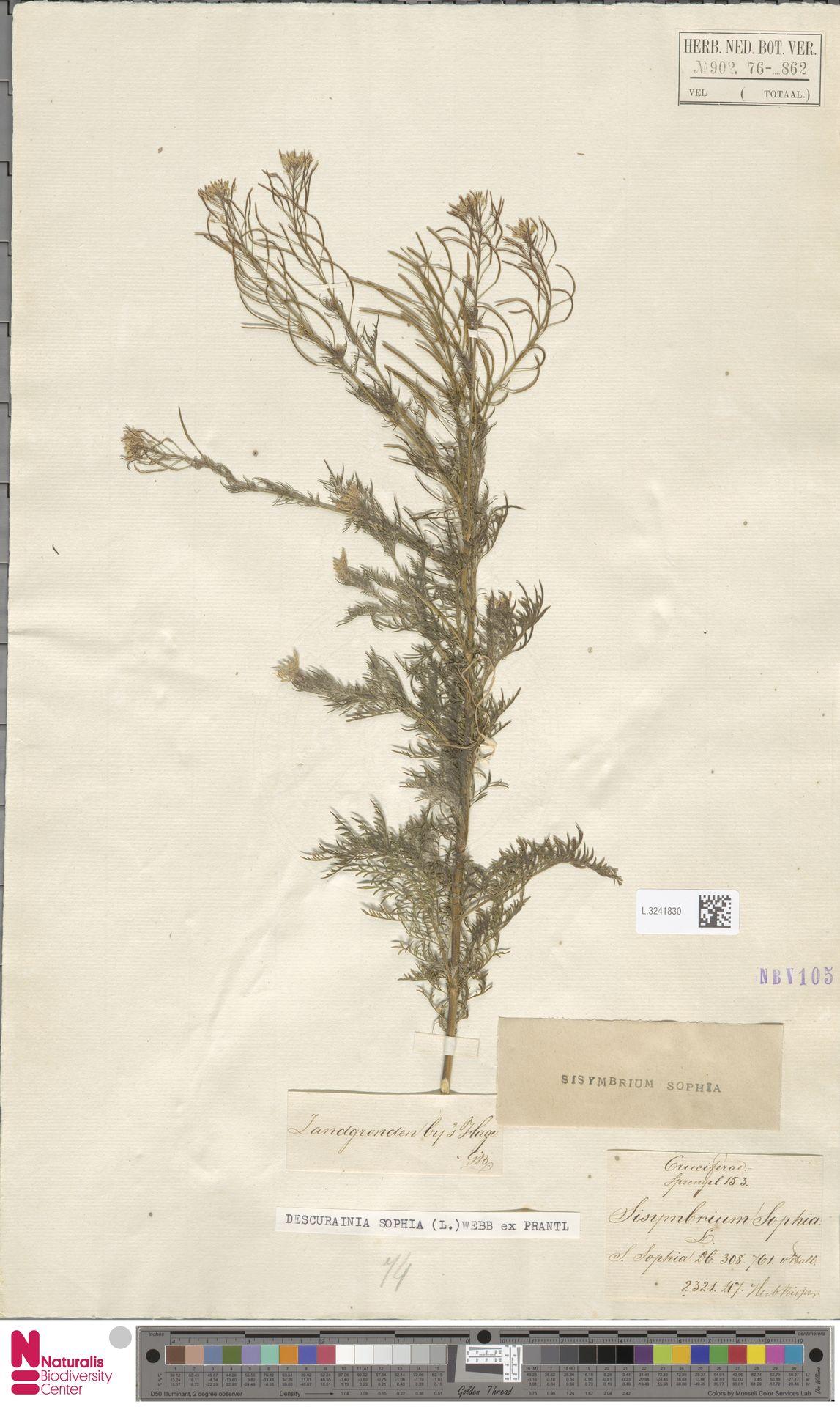 L.3241830   Descurainia sophia (L.) Webb ex Prantl