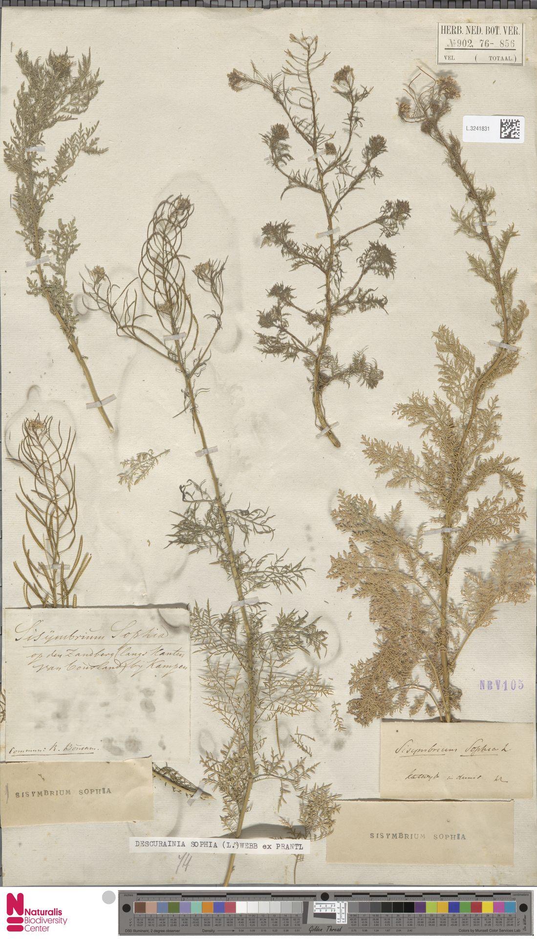 L.3241831 | Descurainia sophia (L.) Webb ex Prantl