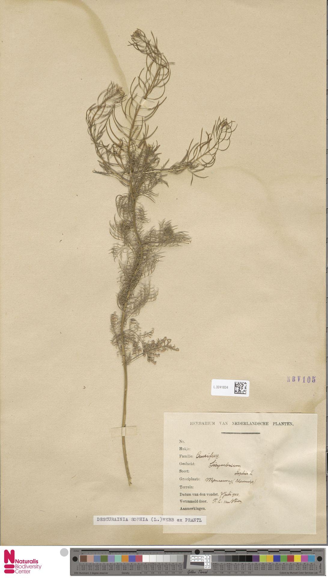 L.3241834 | Descurainia sophia (L.) Webb ex Prantl