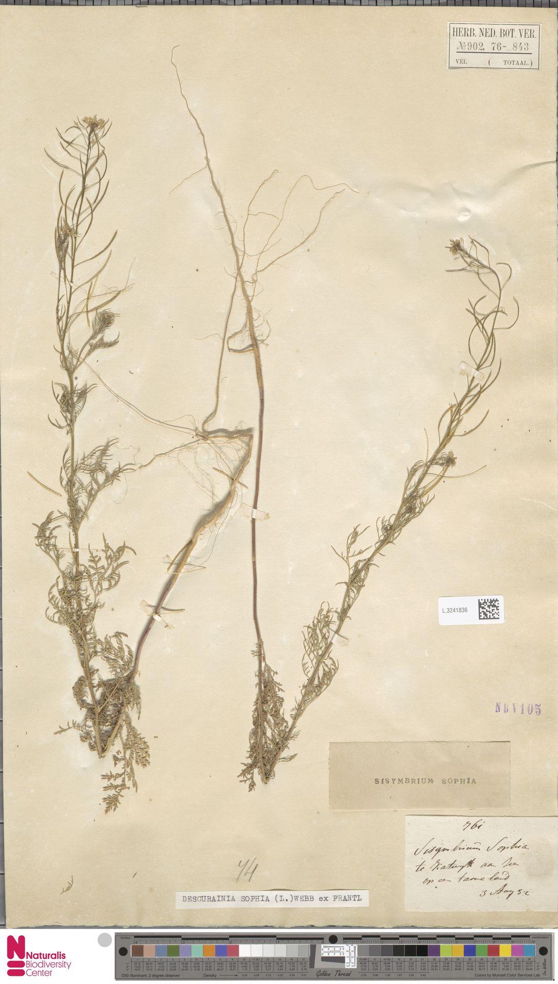 L.3241836 | Descurainia sophia (L.) Webb ex Prantl