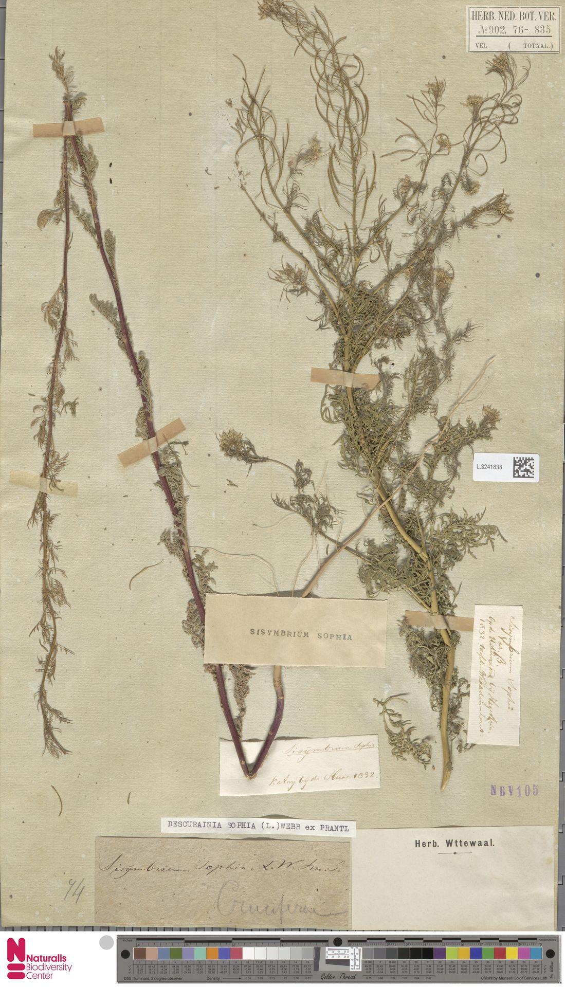 L.3241838   Descurainia sophia (L.) Webb ex Prantl